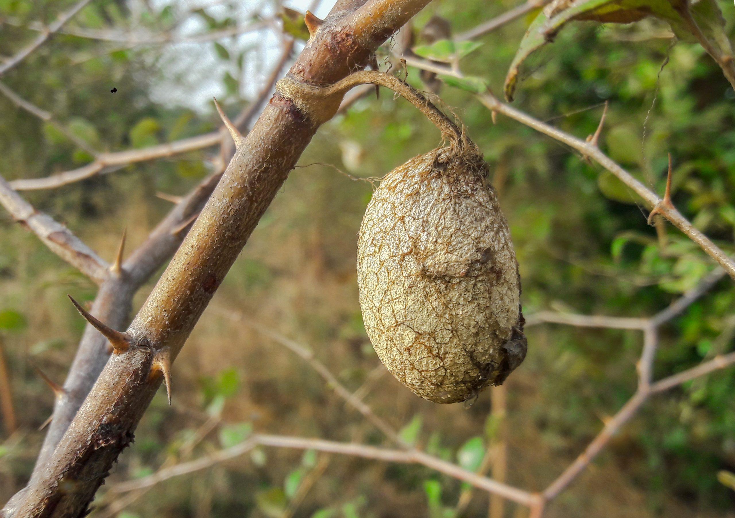 Silkworm cocoon on plant