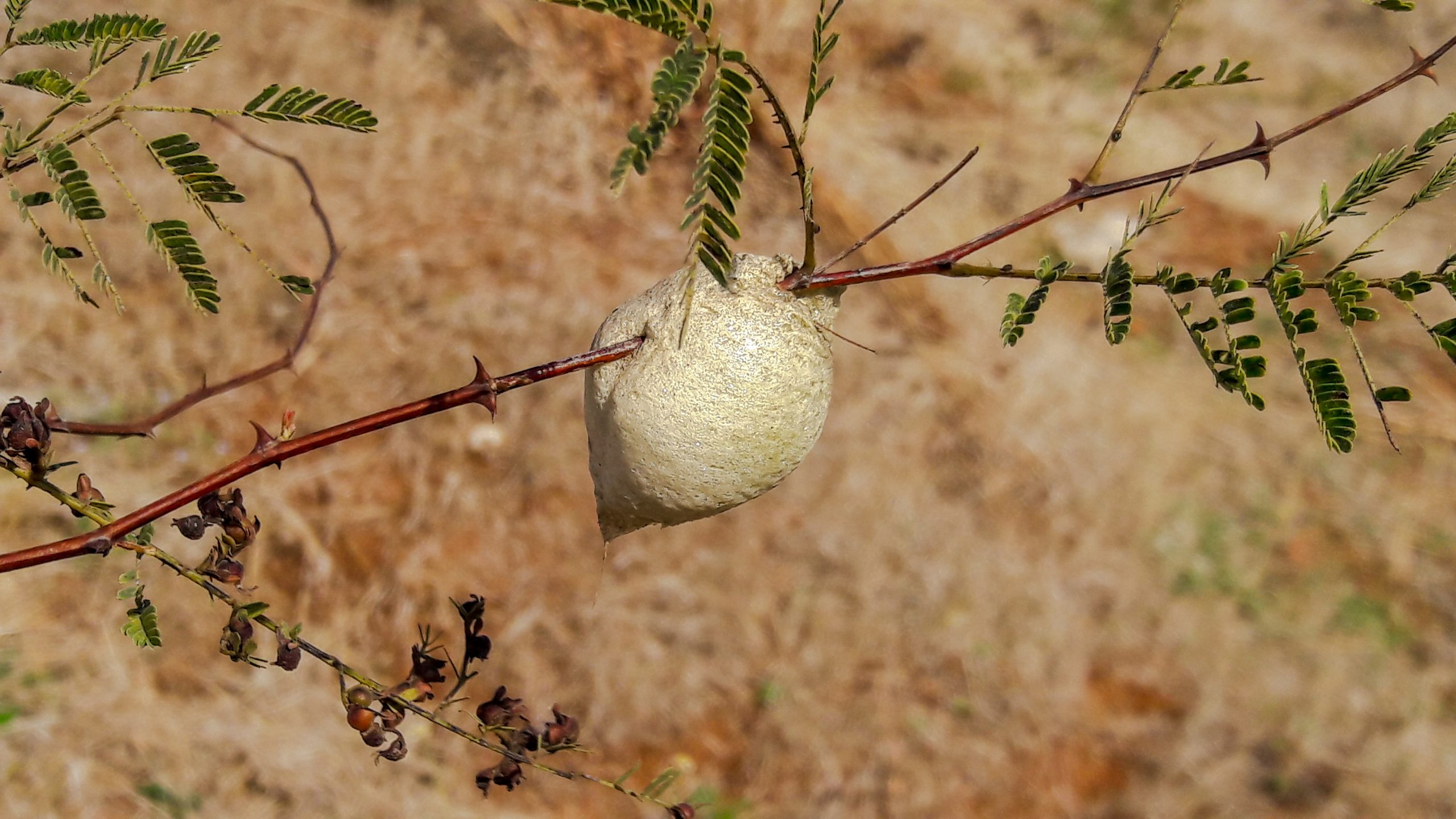 Silkworm cocoon on a plant