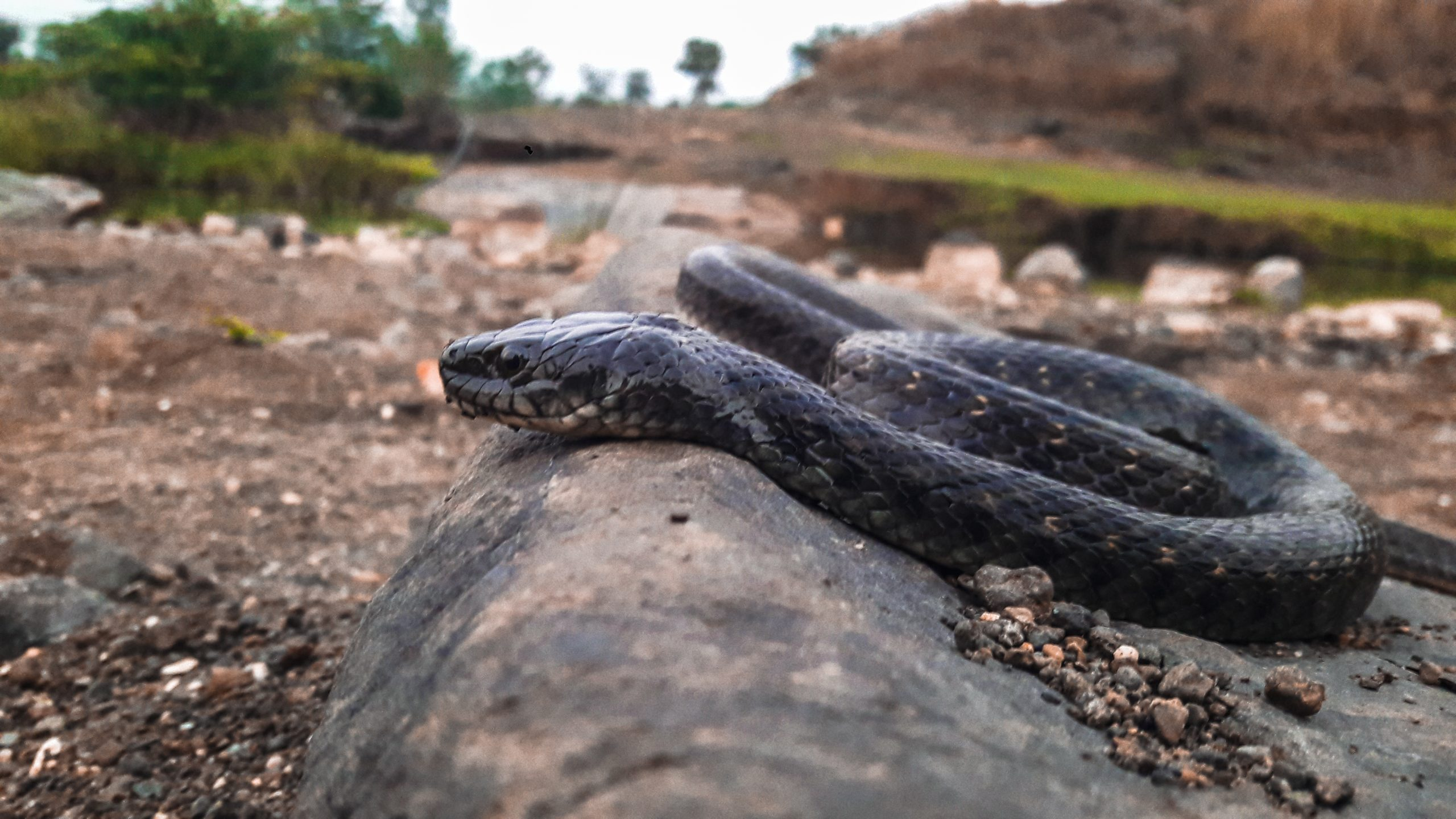 Black snake on rock