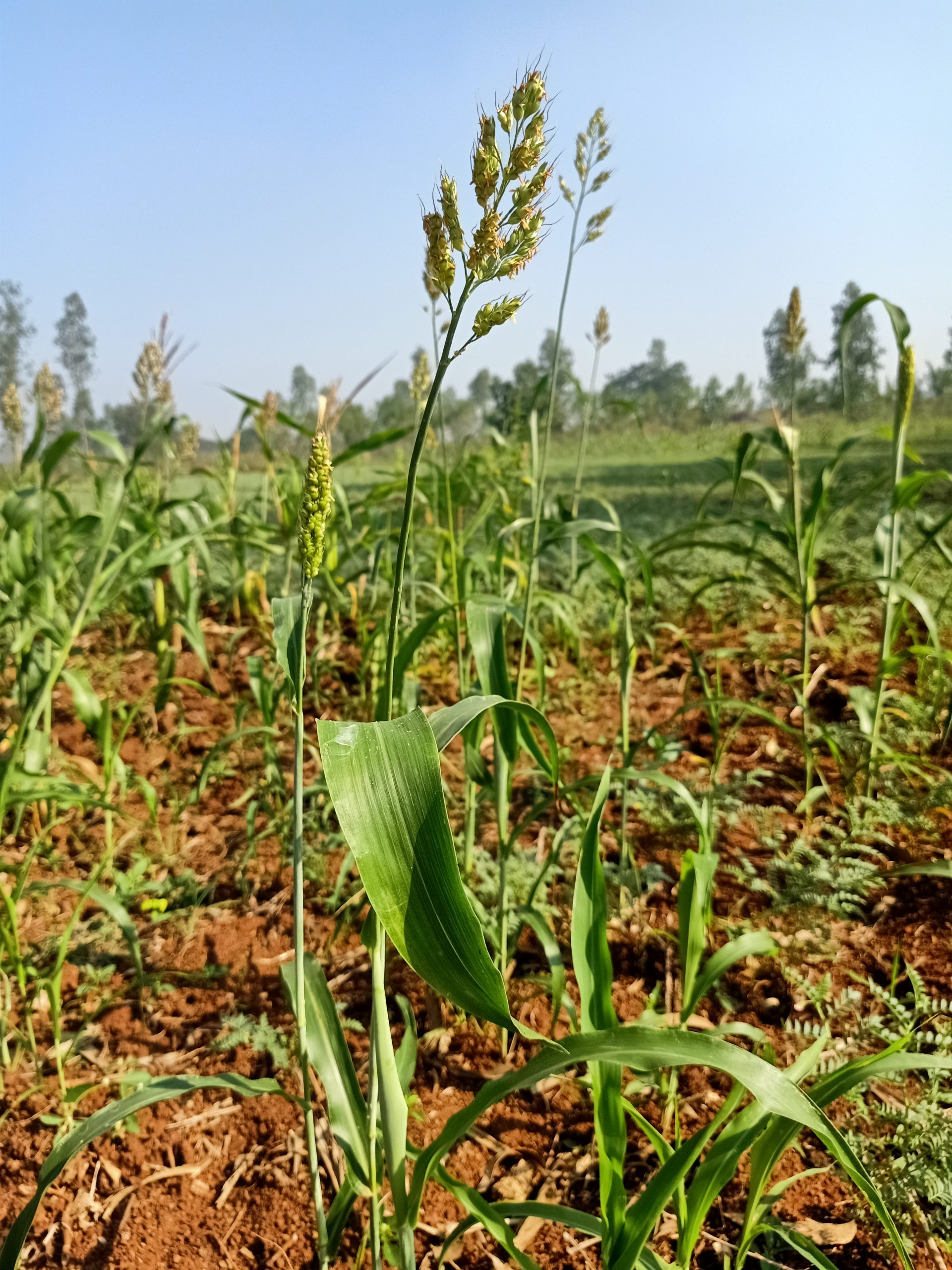 Wheat plant growing on farm