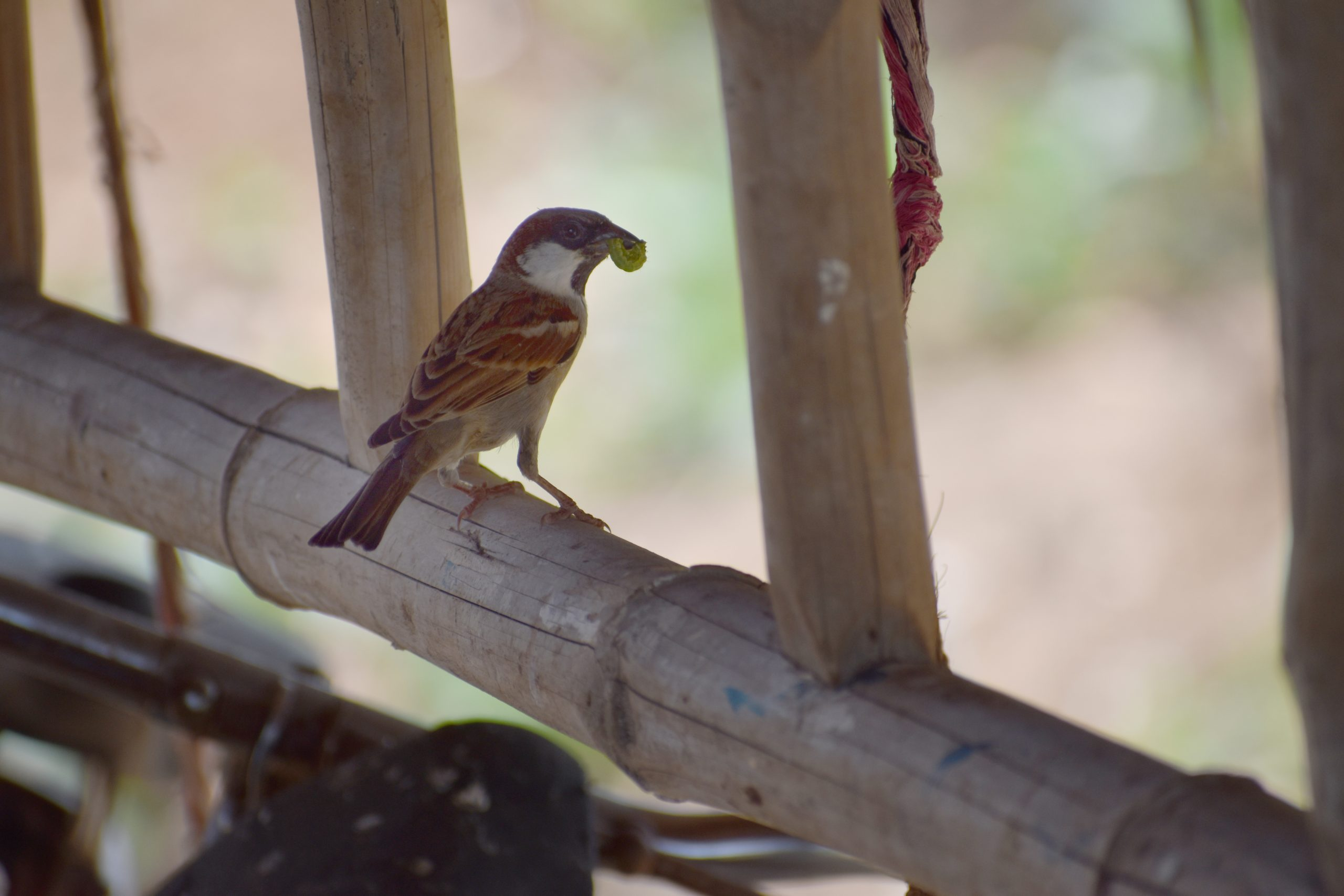 Sparrow sitting on the wood
