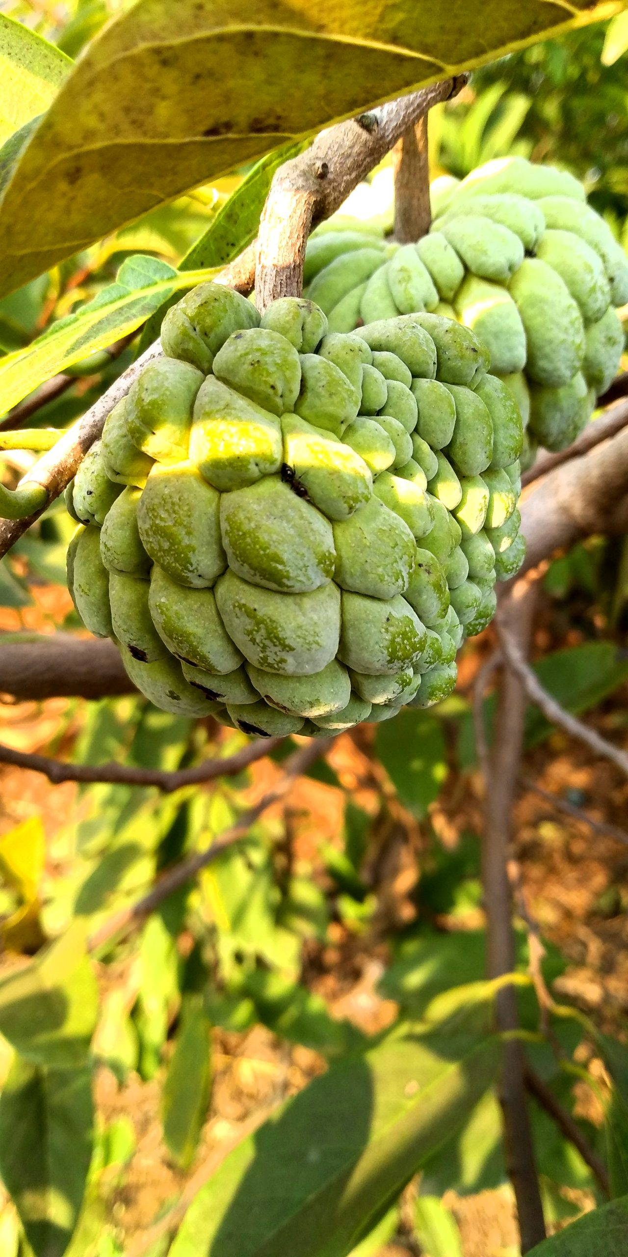 Plum sugar apple on branches