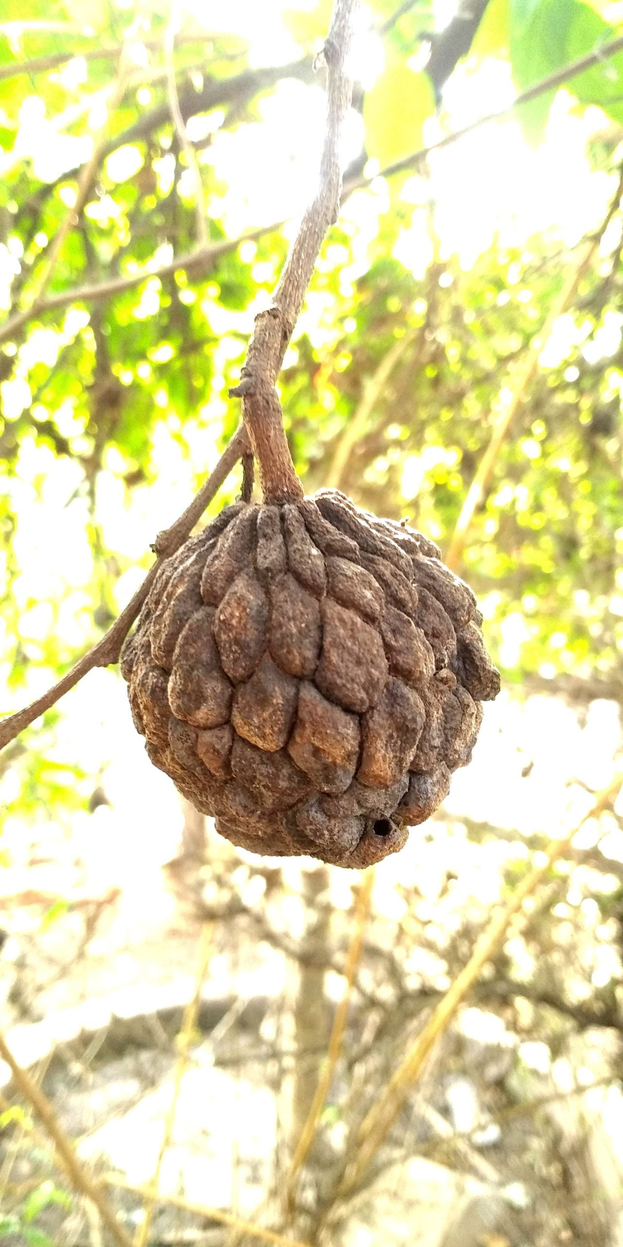 Sugar apple fruit