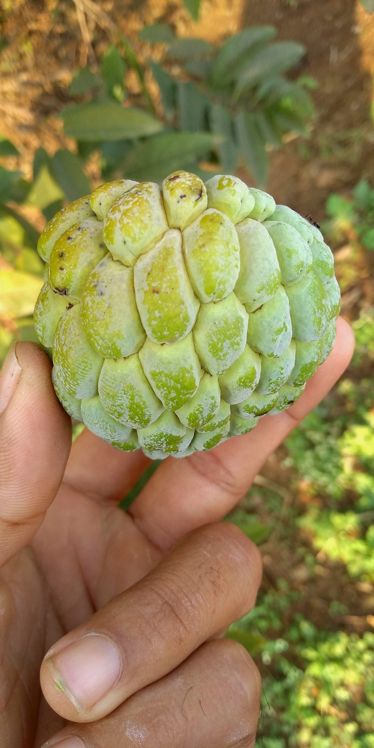 Sugar apple in hand