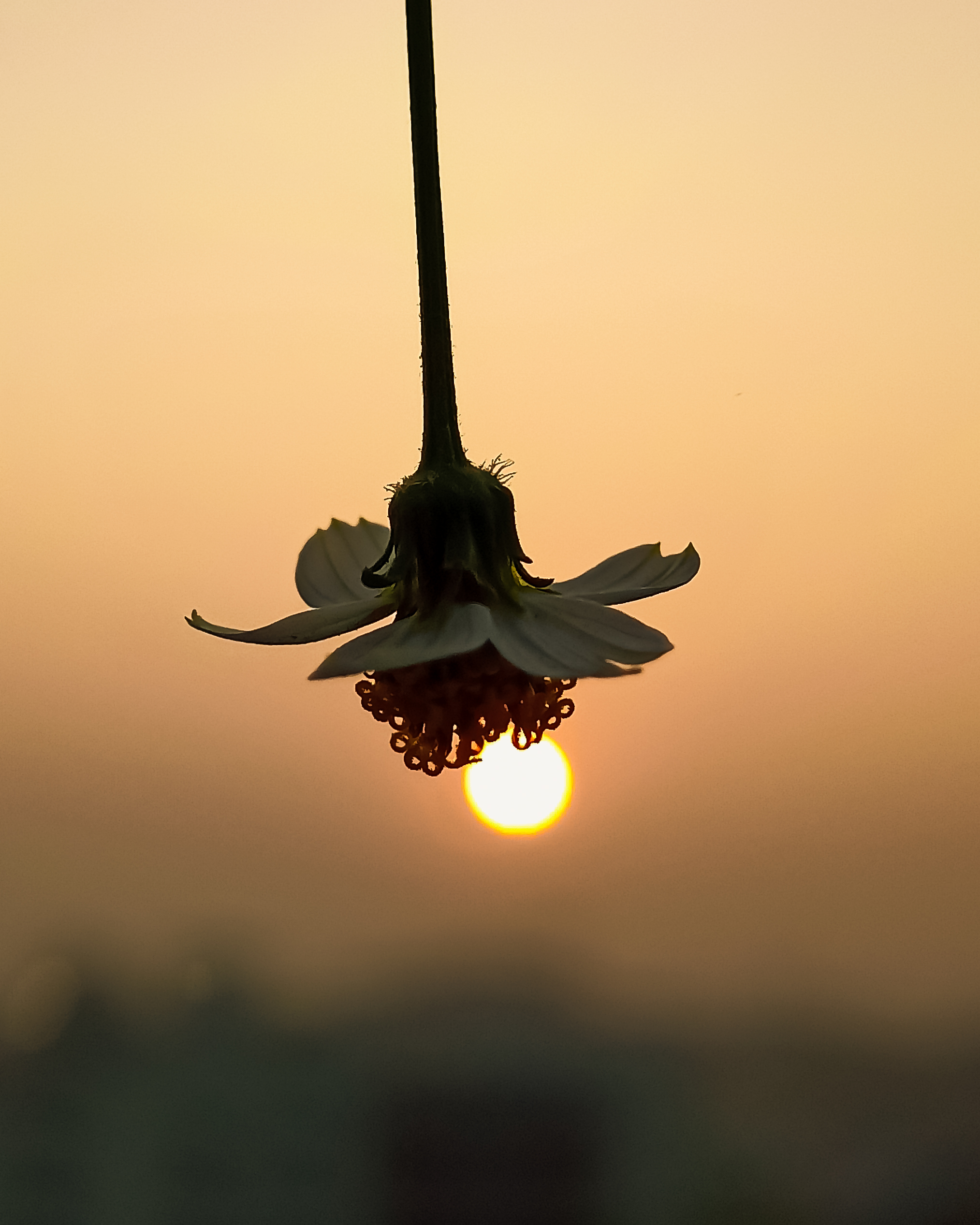 Flower in front of Sun