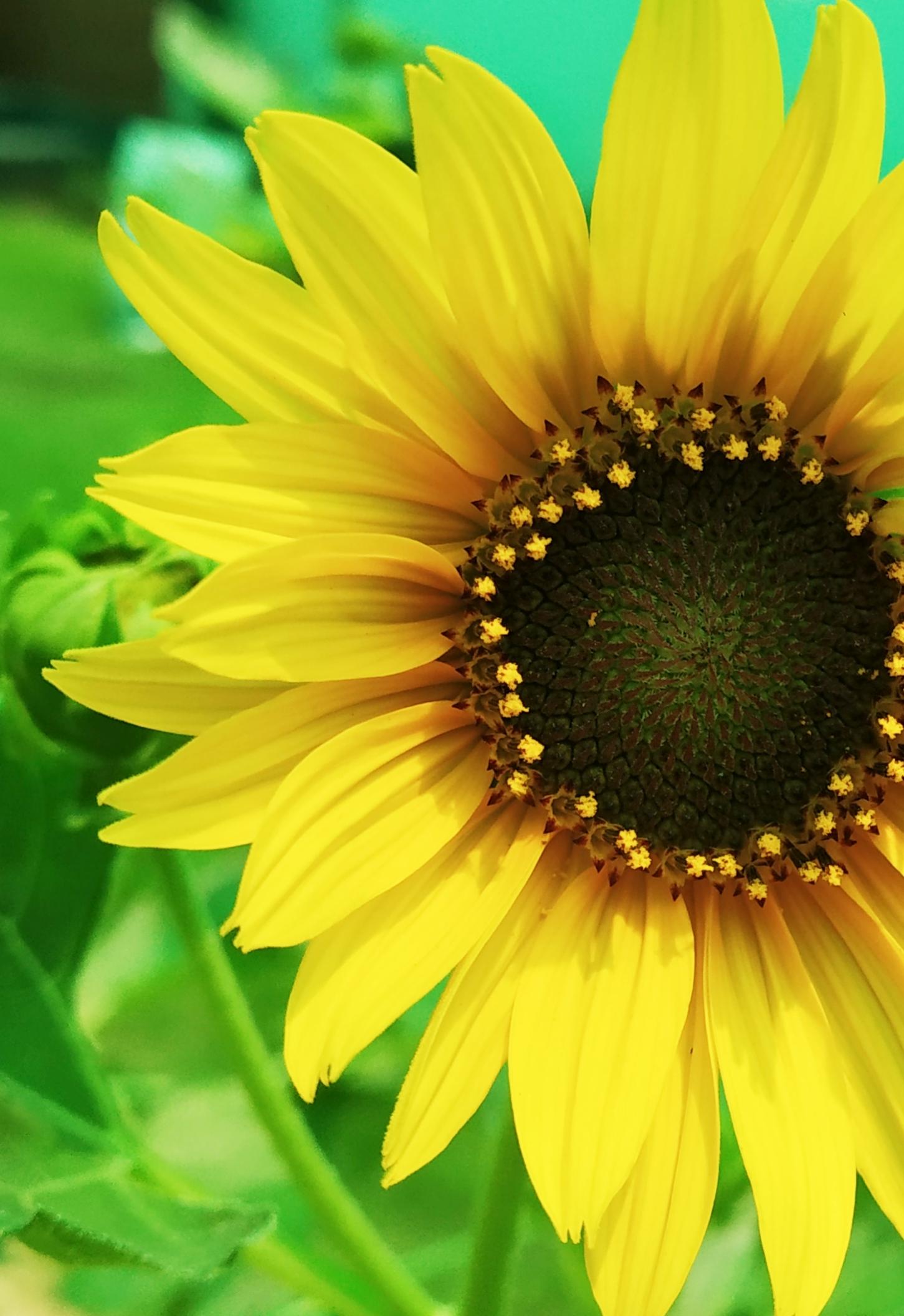 Close-up of a sunflower