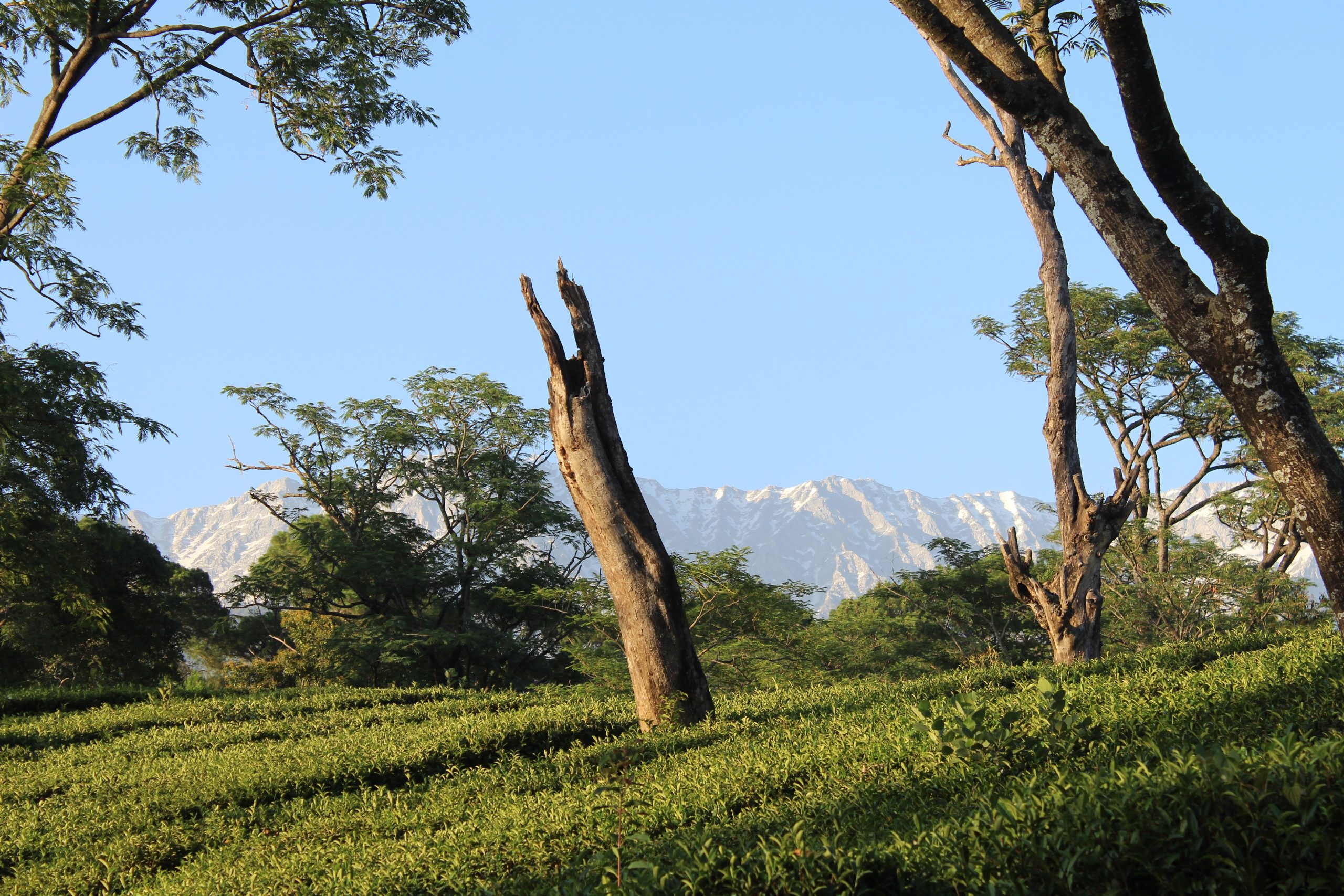 Mountains and trees of Dharmshala