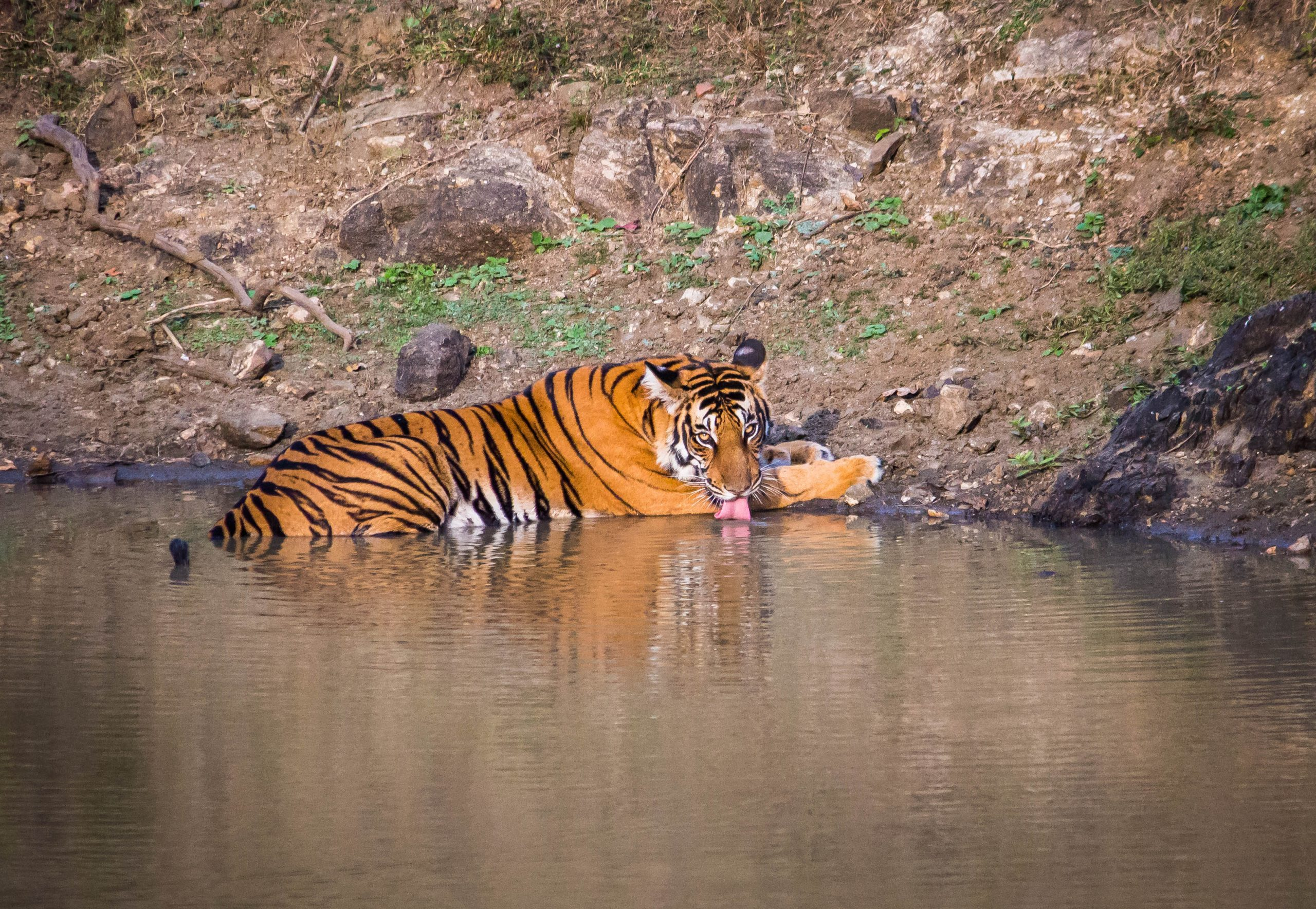 a tiger sitting in water