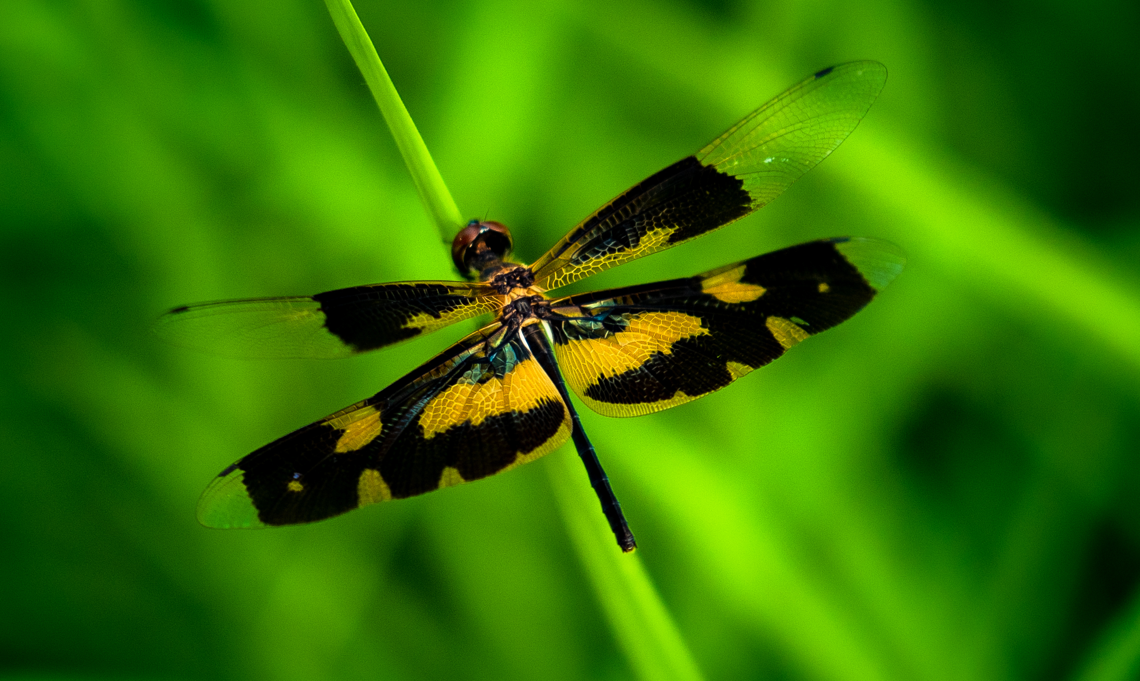Tiger colored Dragonfly