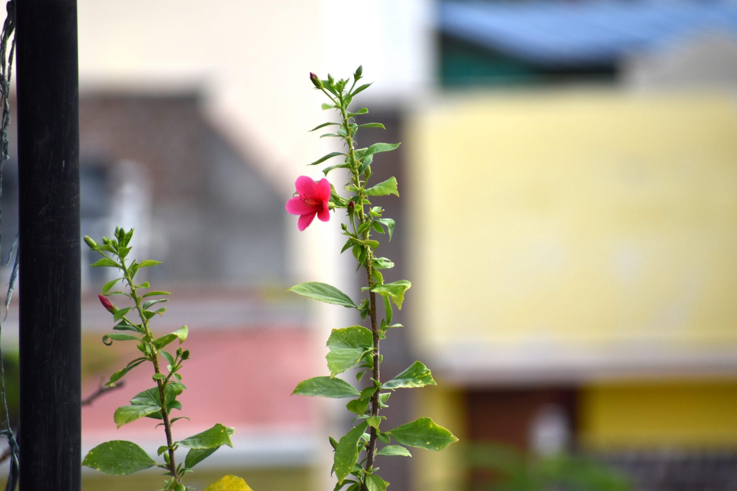 Tiny Pink Hibiscus
