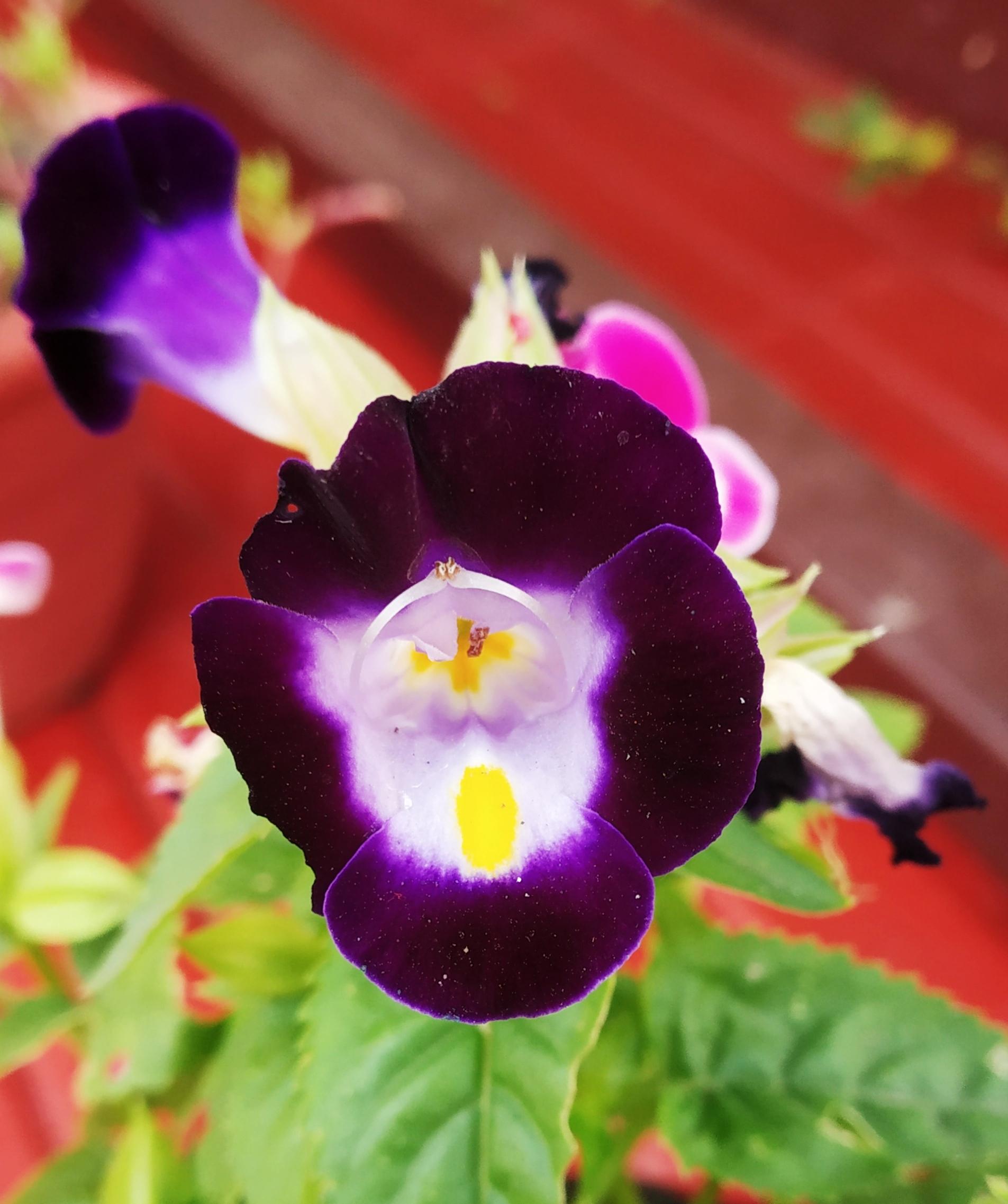 Close-up of wishbone flower