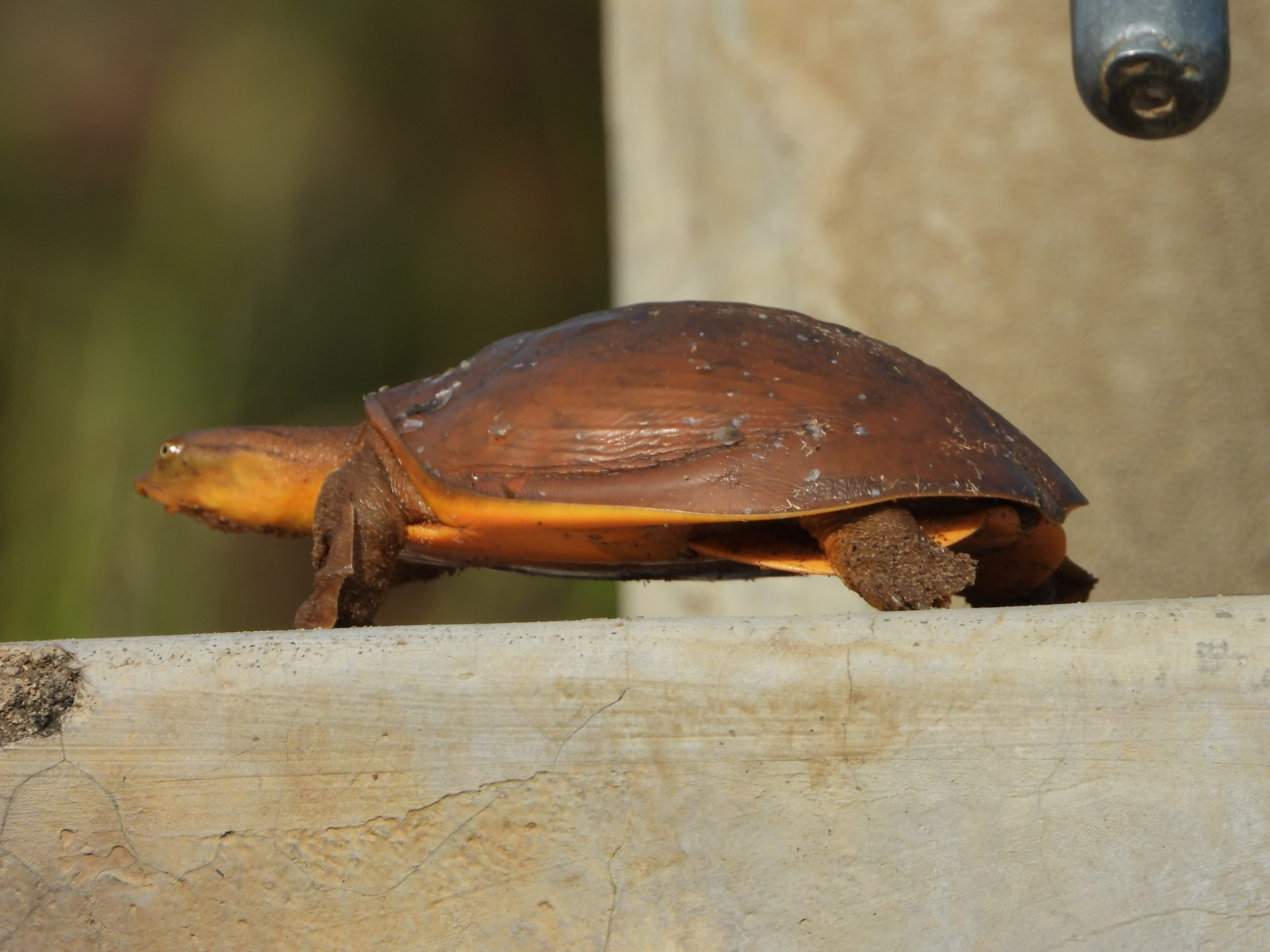 Brown and beautiful tortoise on a railing