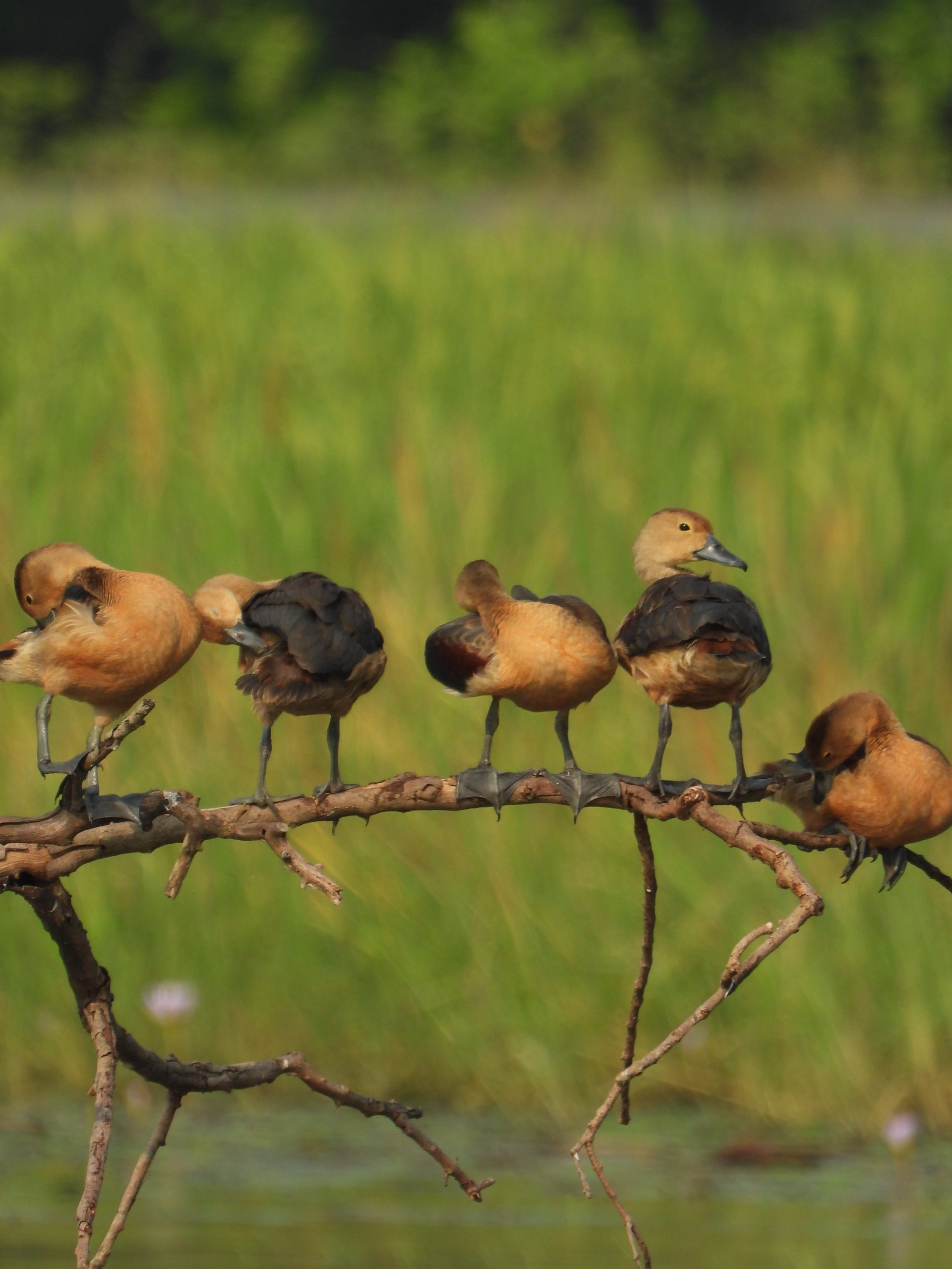 Whistling duck chicks