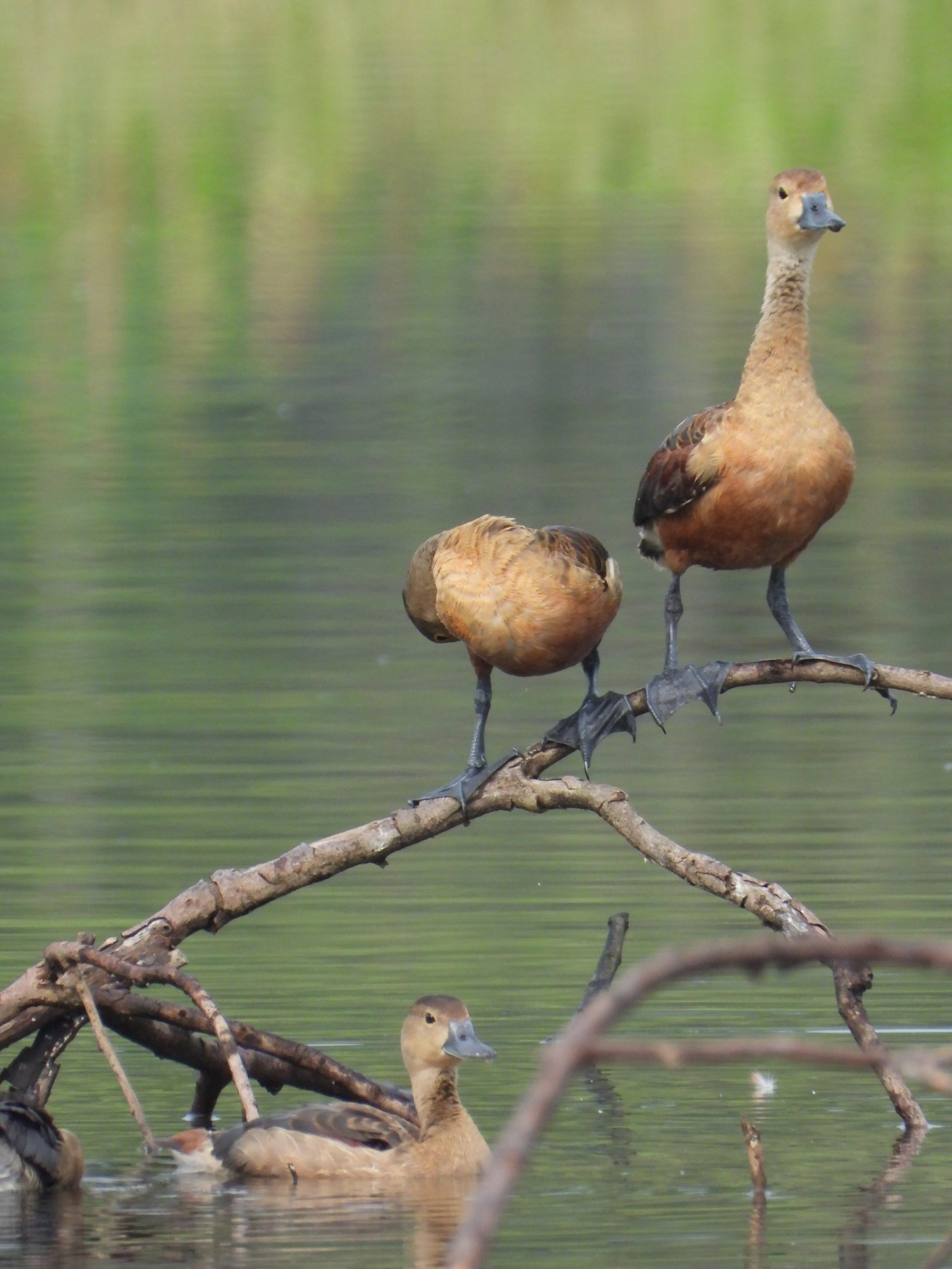 Whistling duck chicks on a broken plant