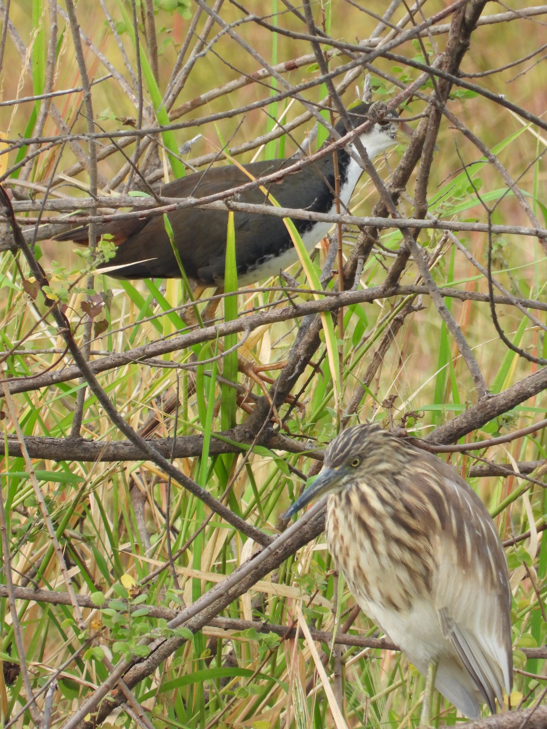 White-breasted waterhen and Pond Heron