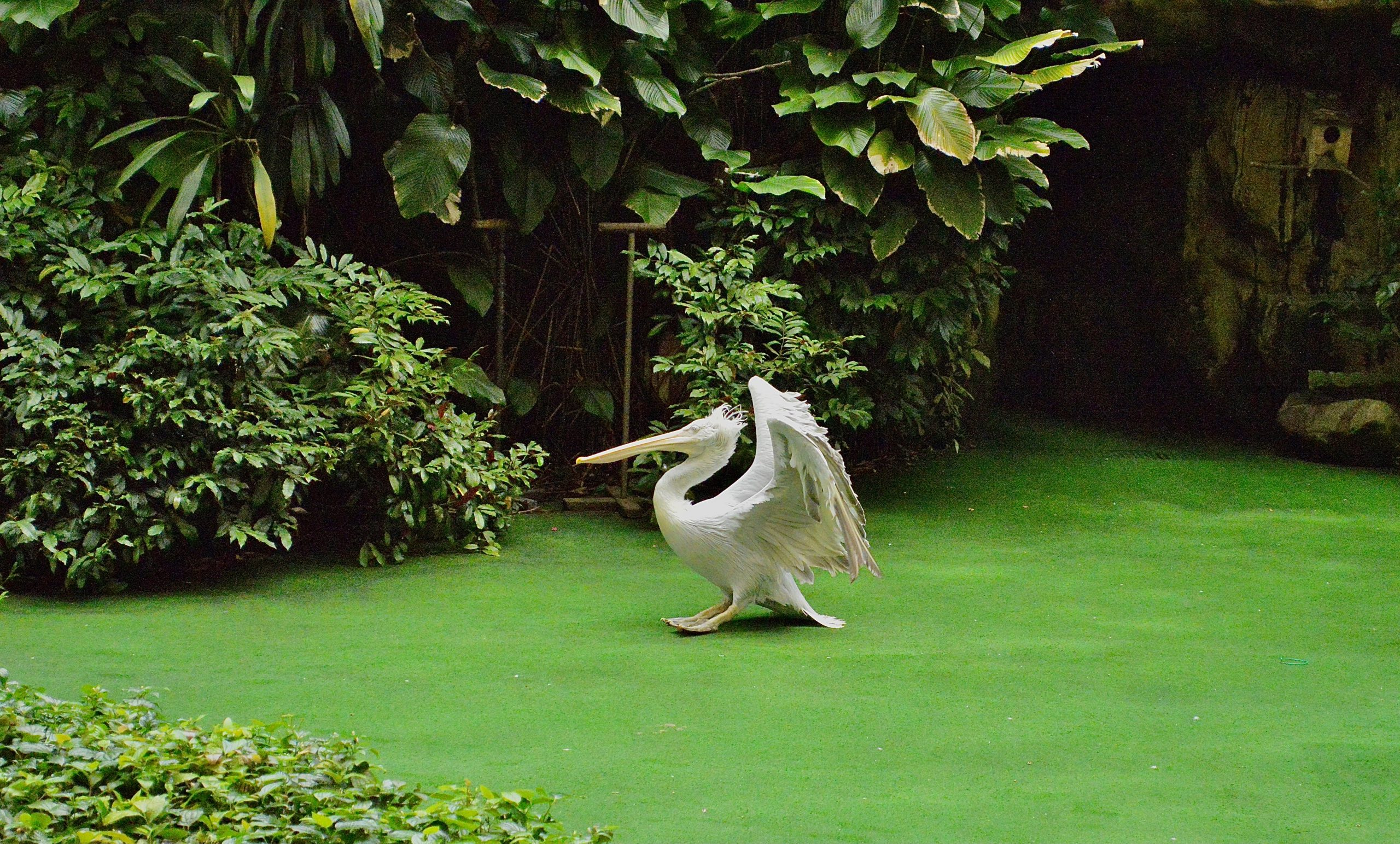 White pelican bird