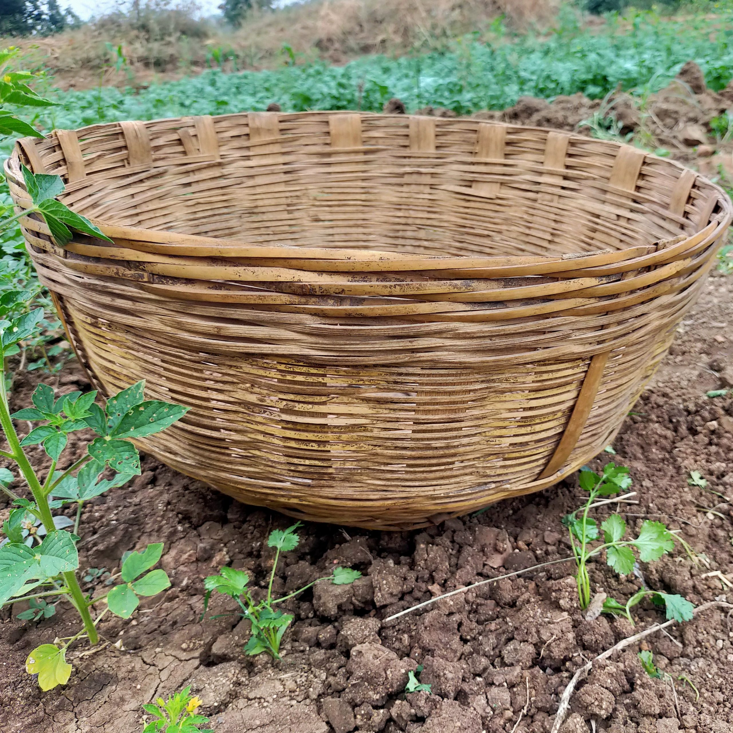 Wooden basket in agriculture field