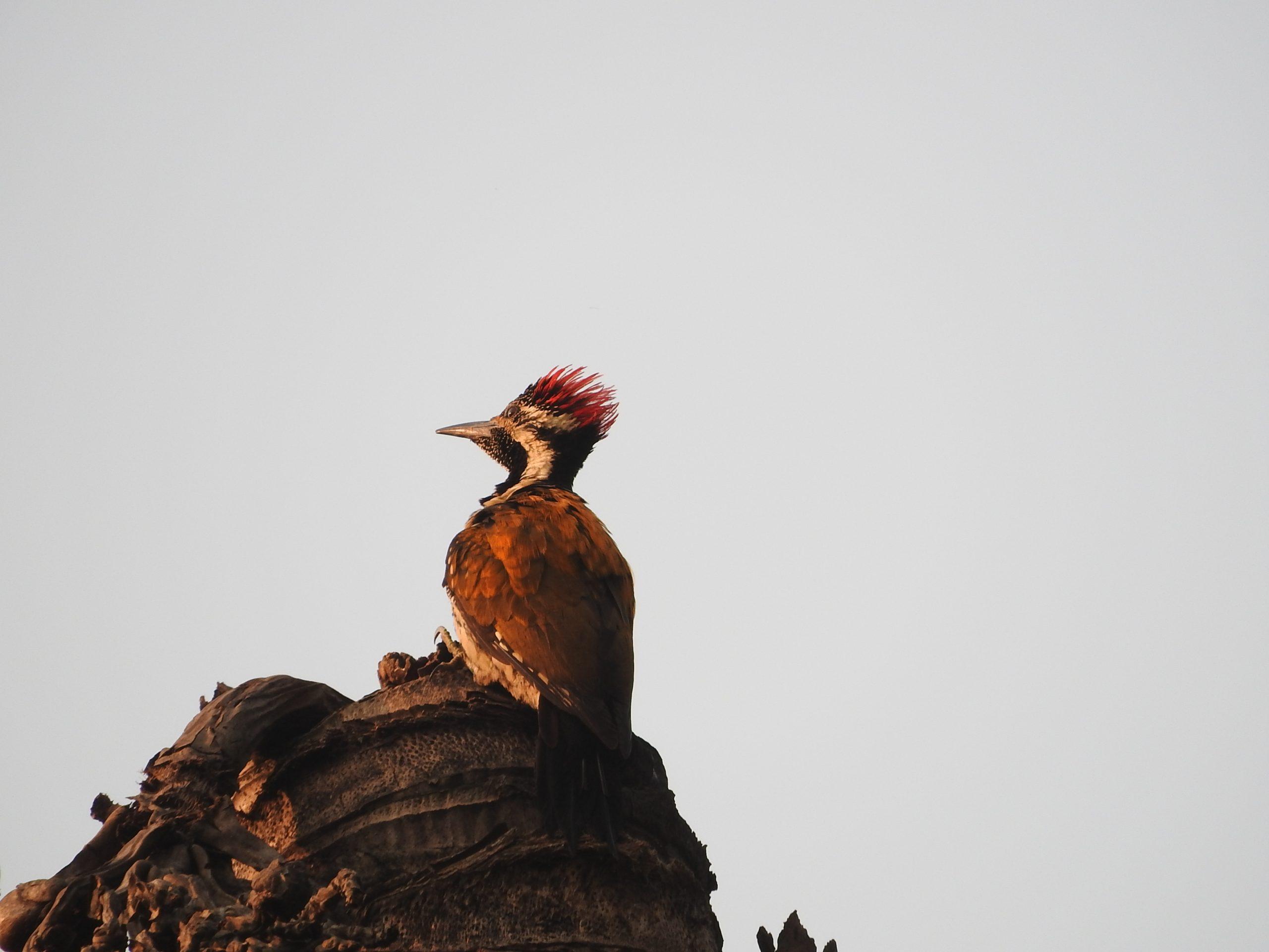 Woodpecker sitting on a coconut tree