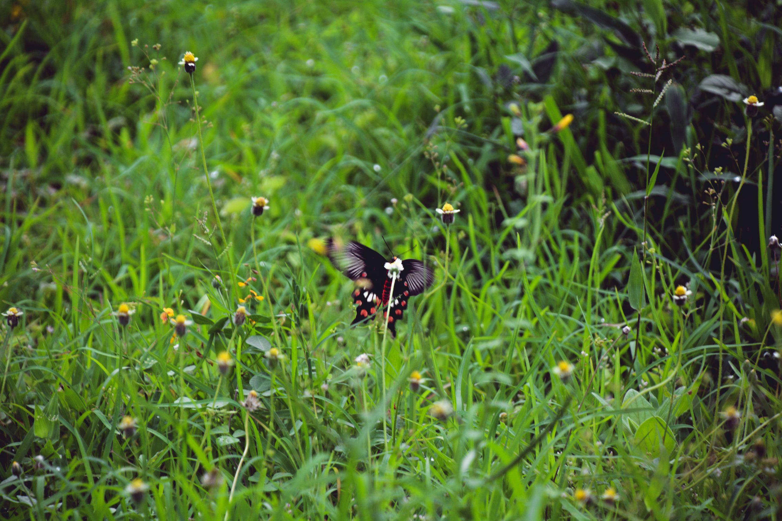 butterfly in a grassland