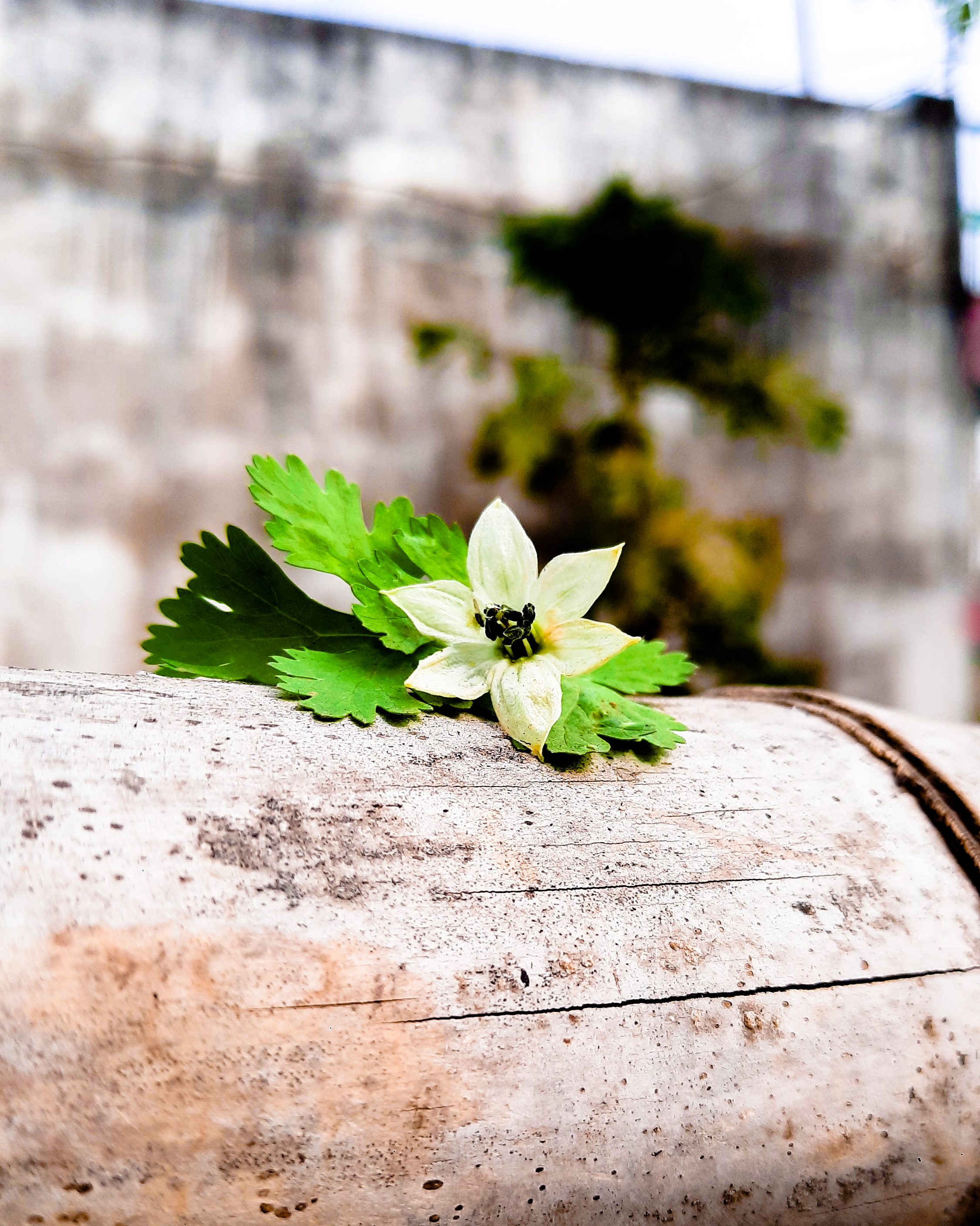a white chilli flower with green coriander
