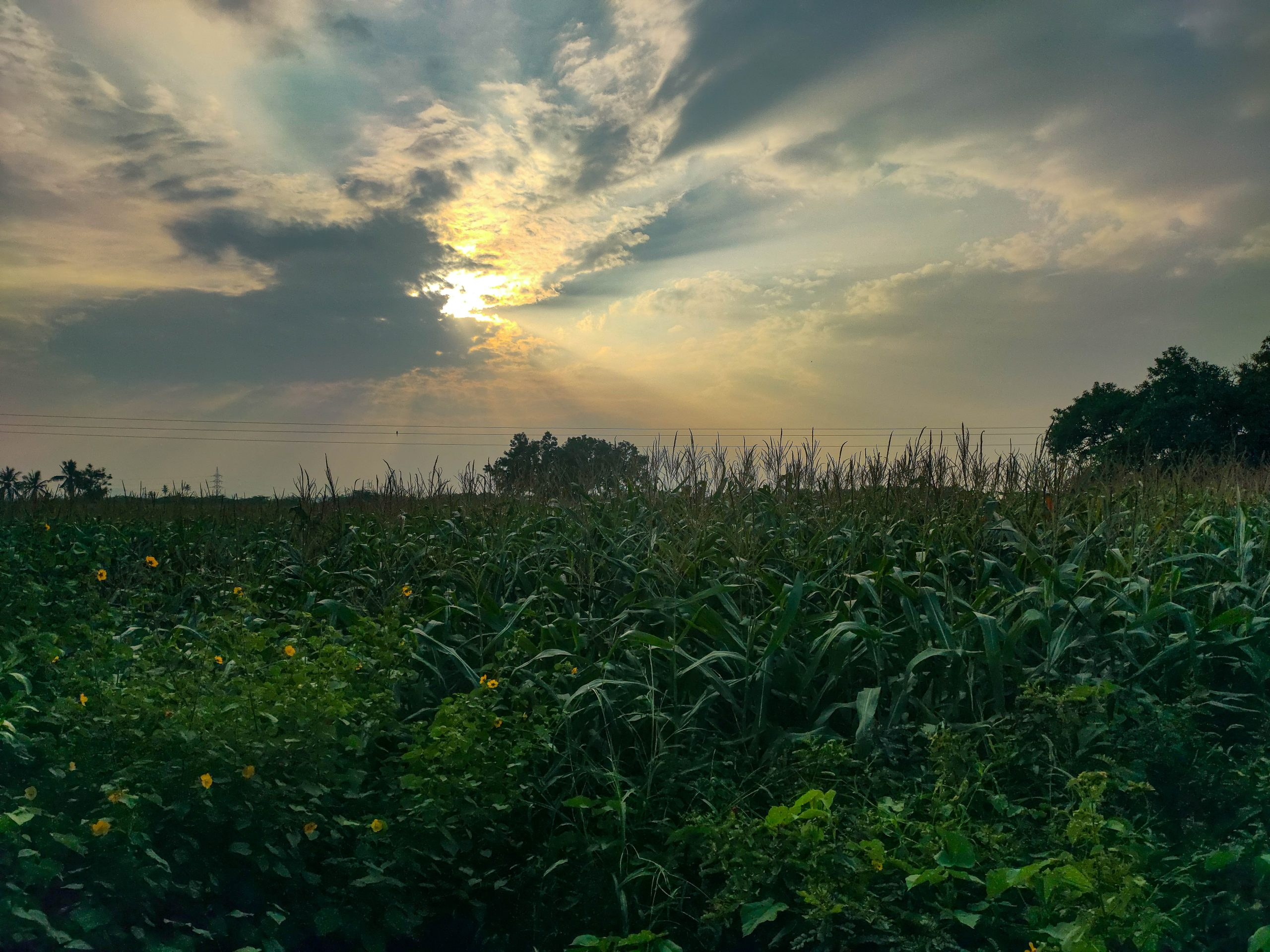 corn field and sunset