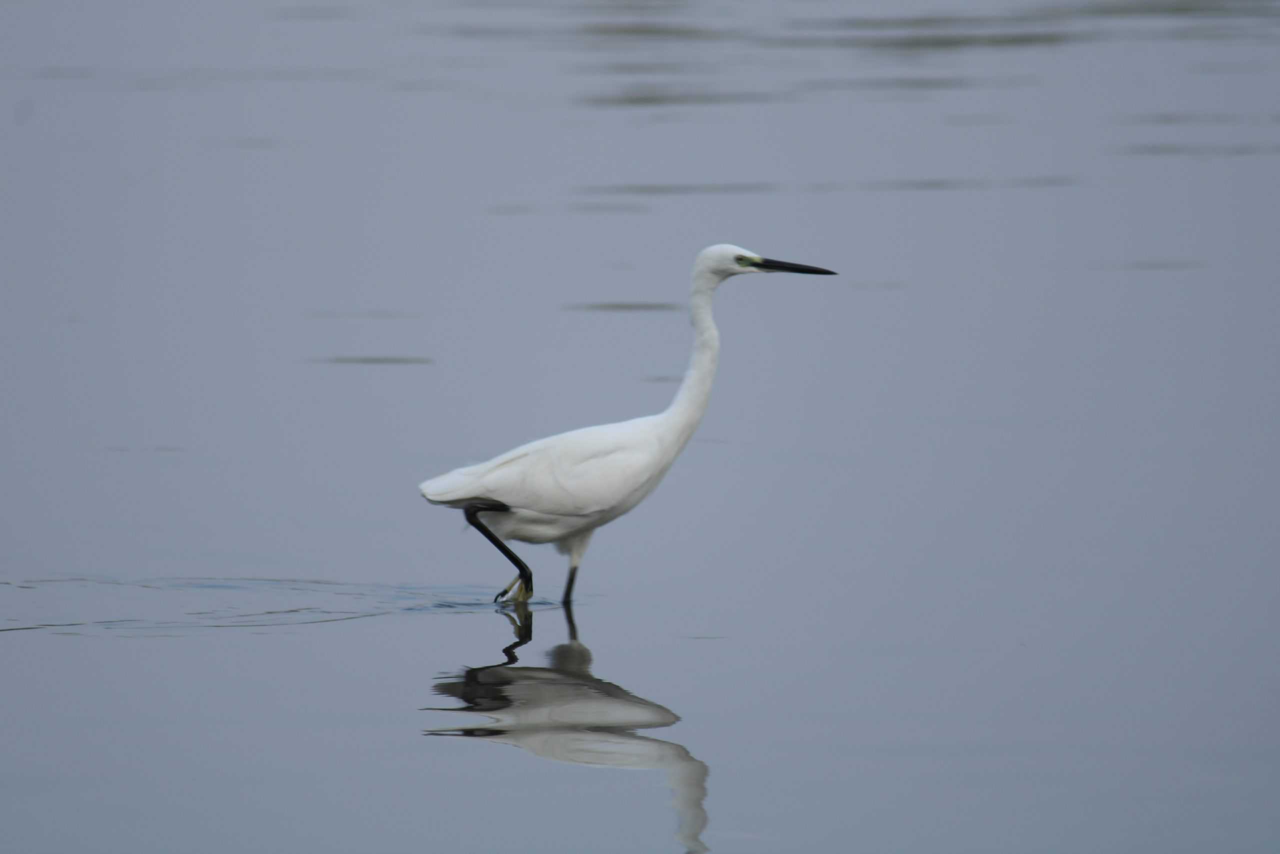 Crane bird in the river