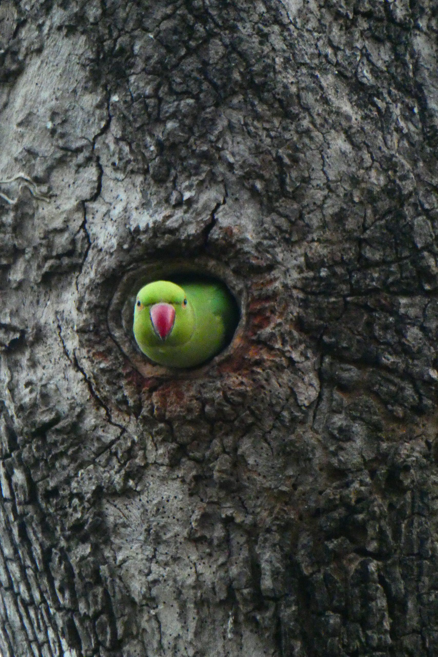 Parrot peeking through the tree