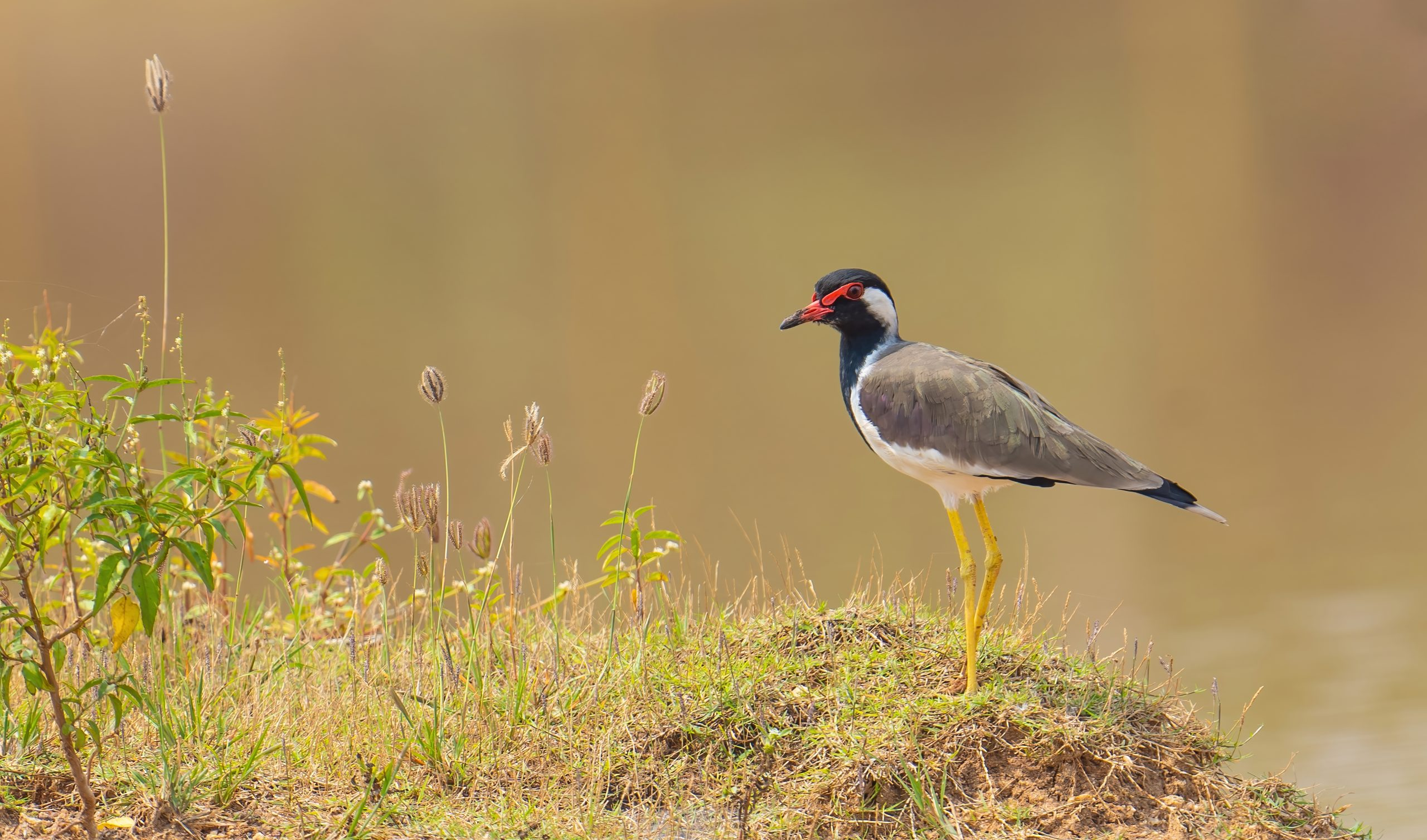 Lapwing sitting on grassland