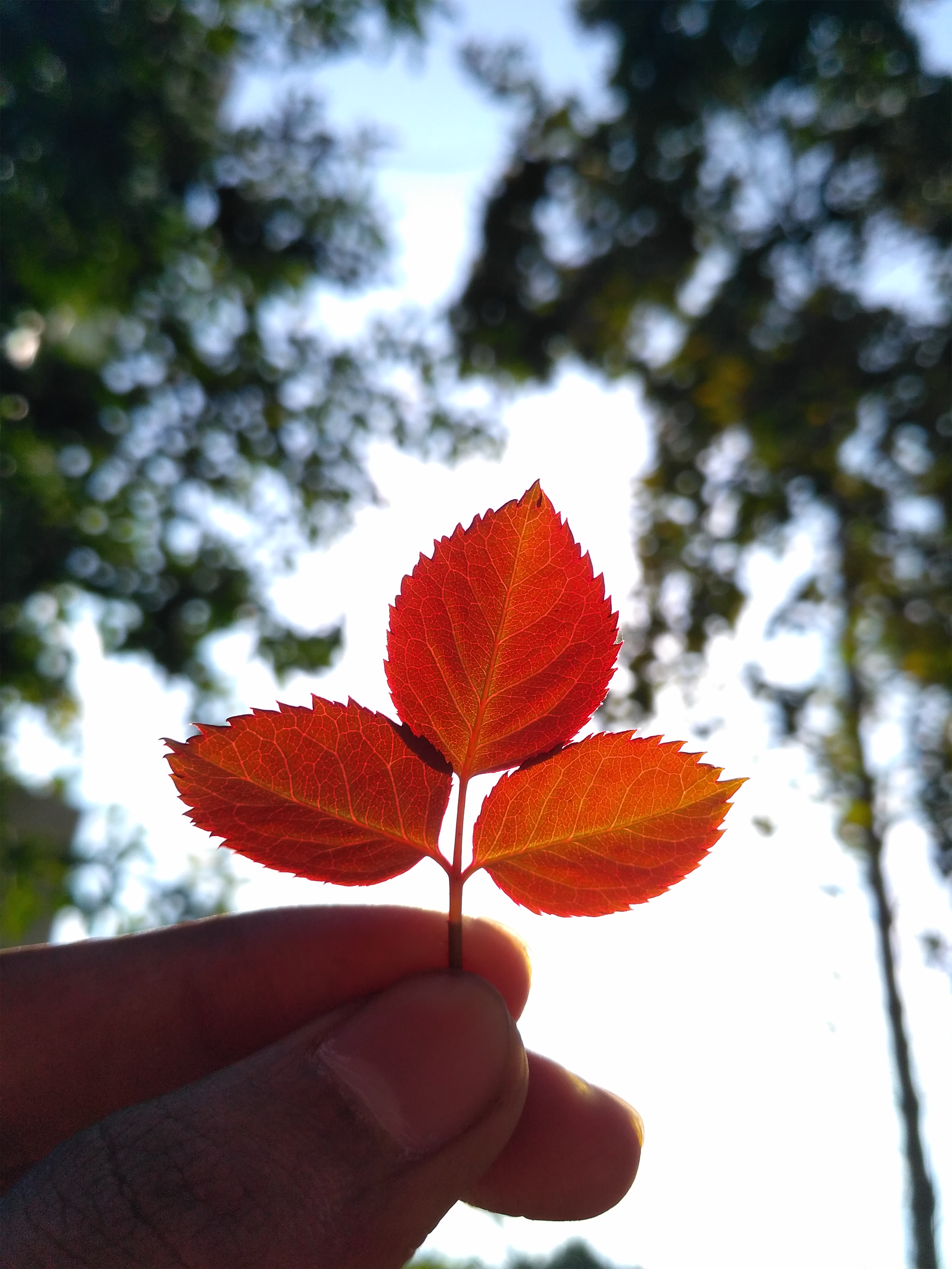 Red rose plant leaves