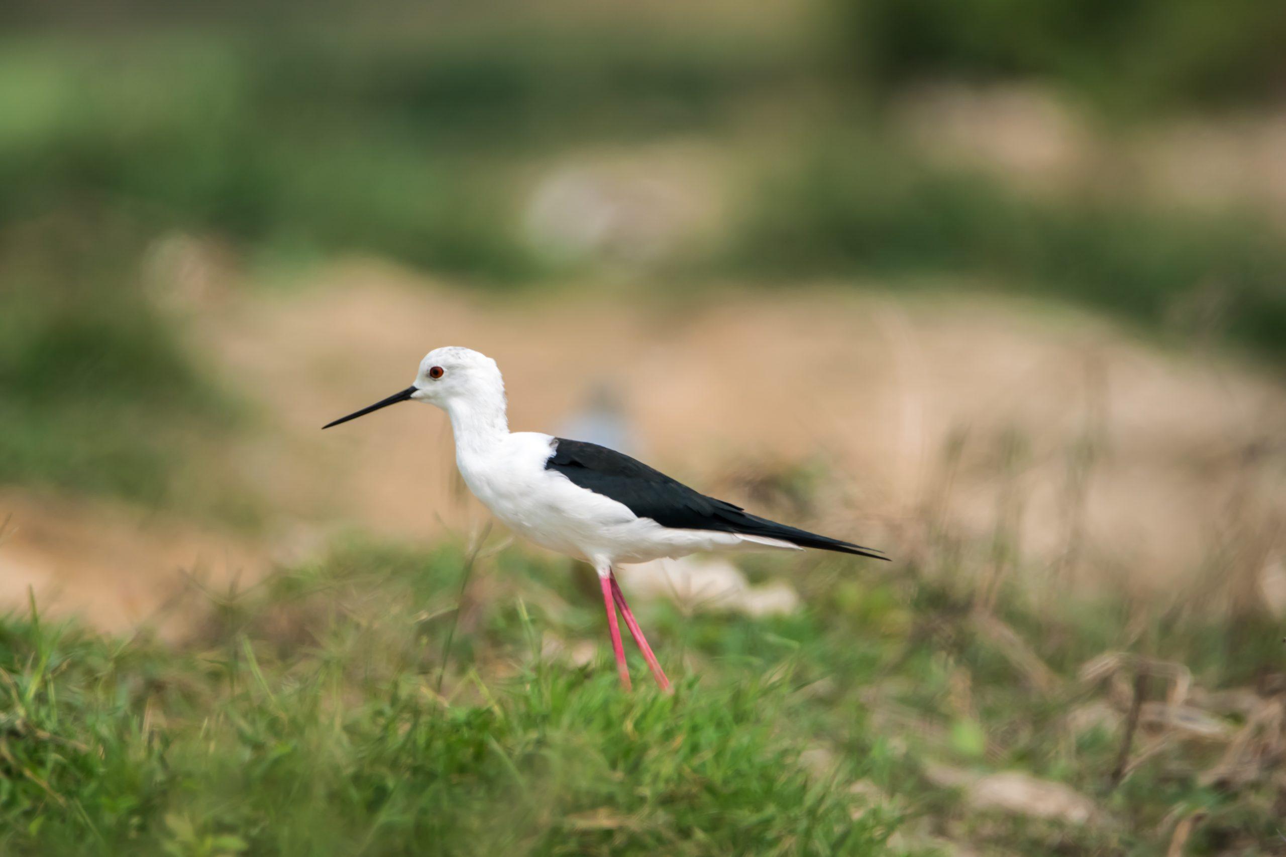 Bird in the grassy field