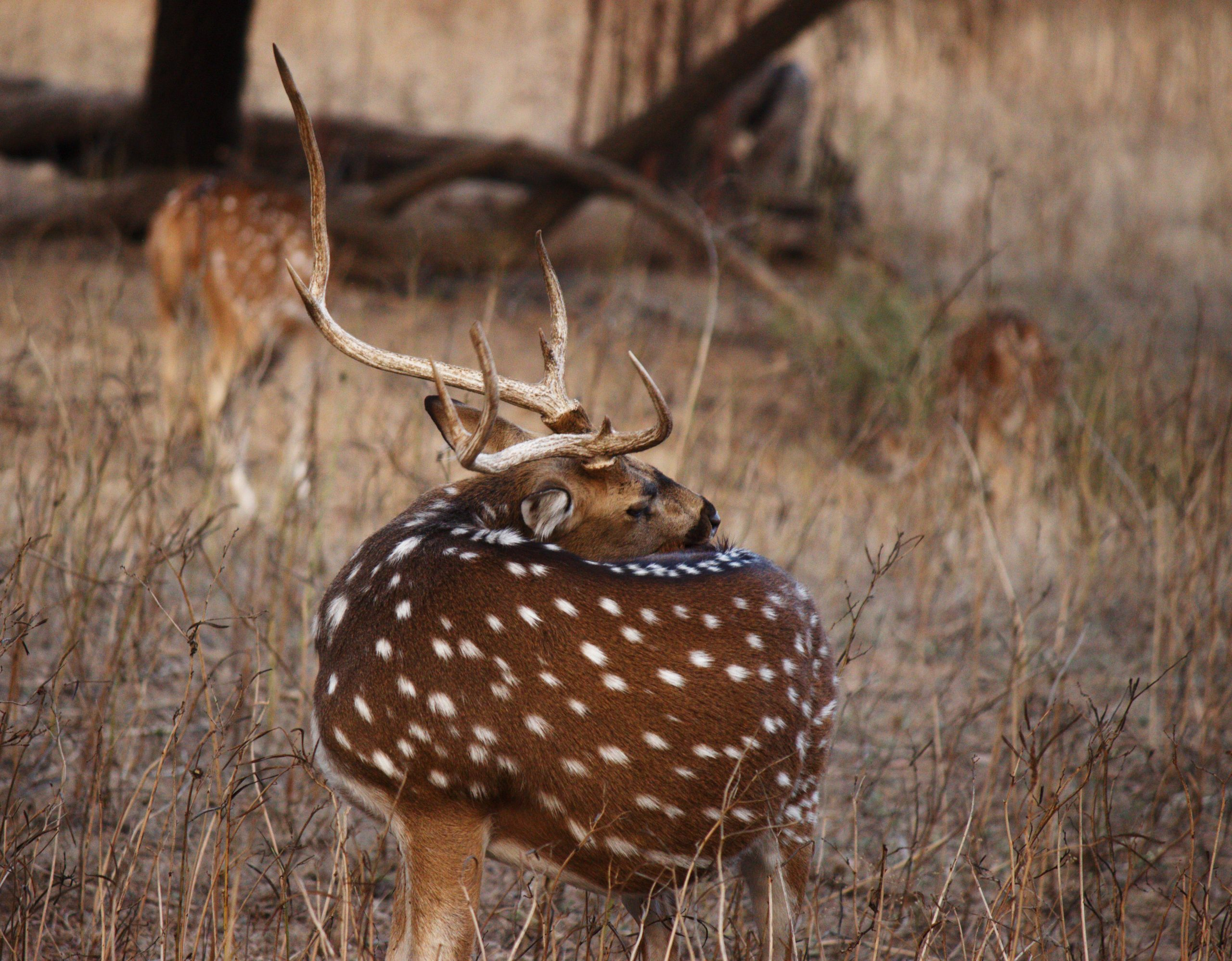 Beautifully spotted deers in the forest
