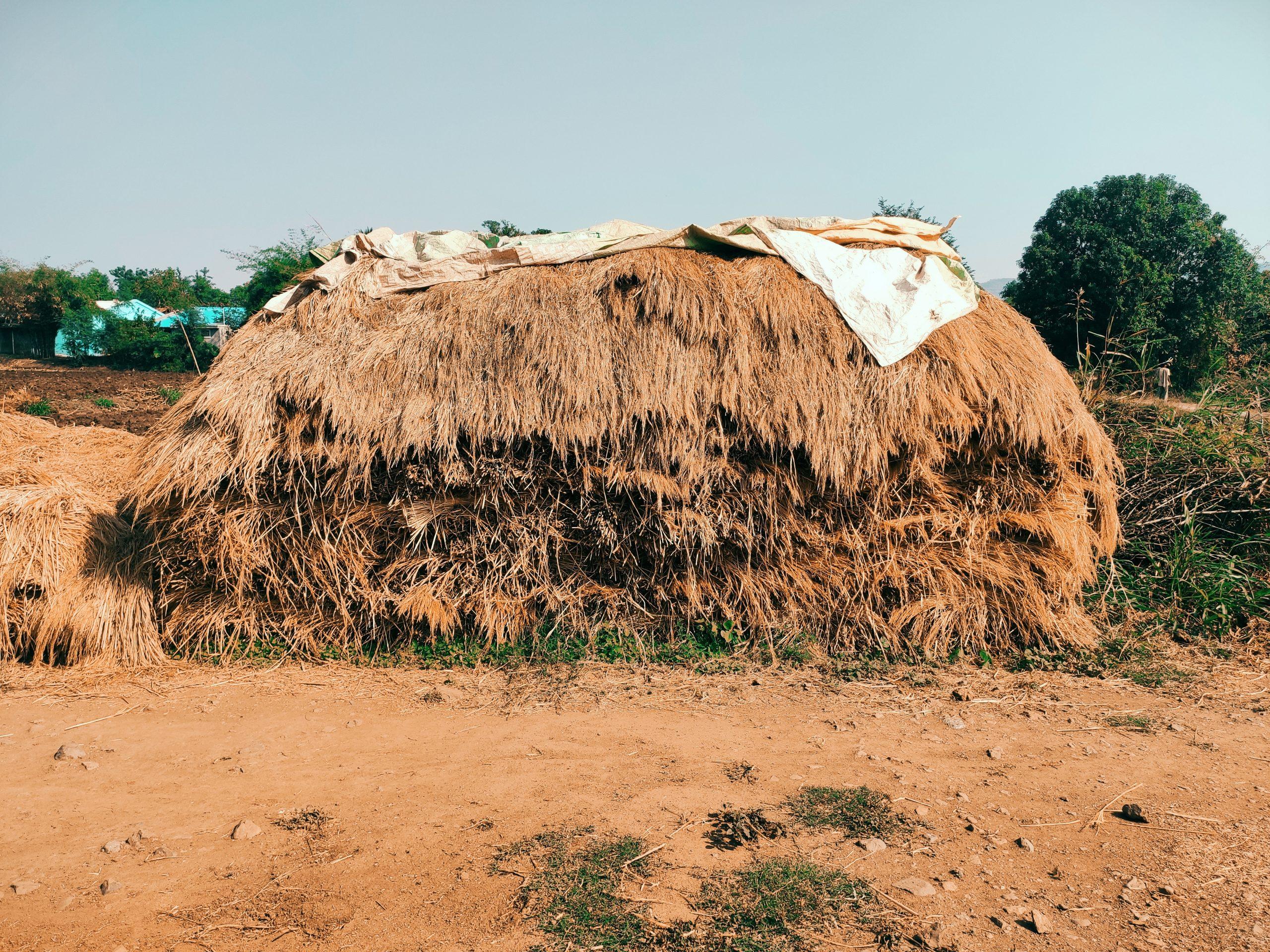 Straw paddy in farm