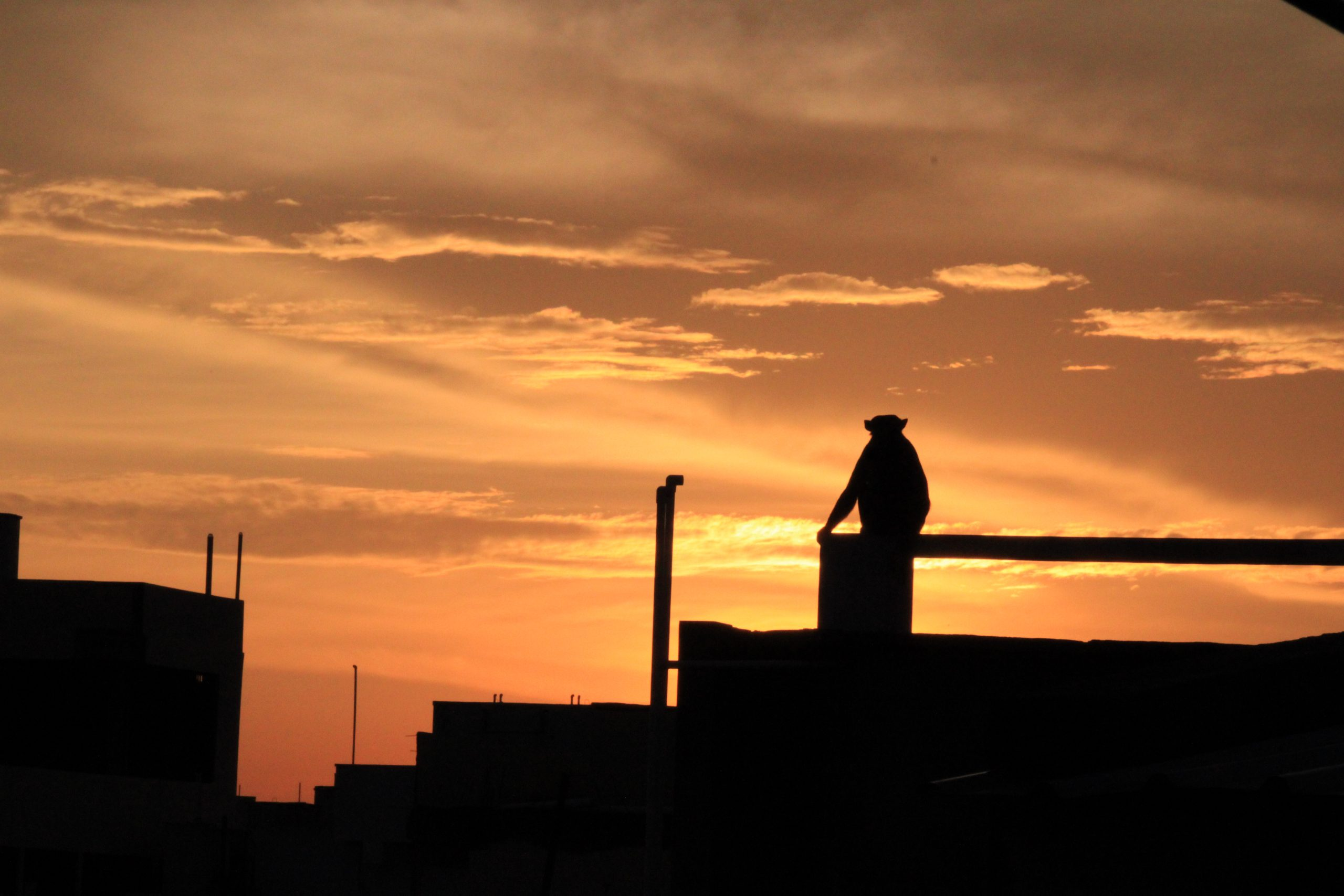 silhouette of monkey at sunset