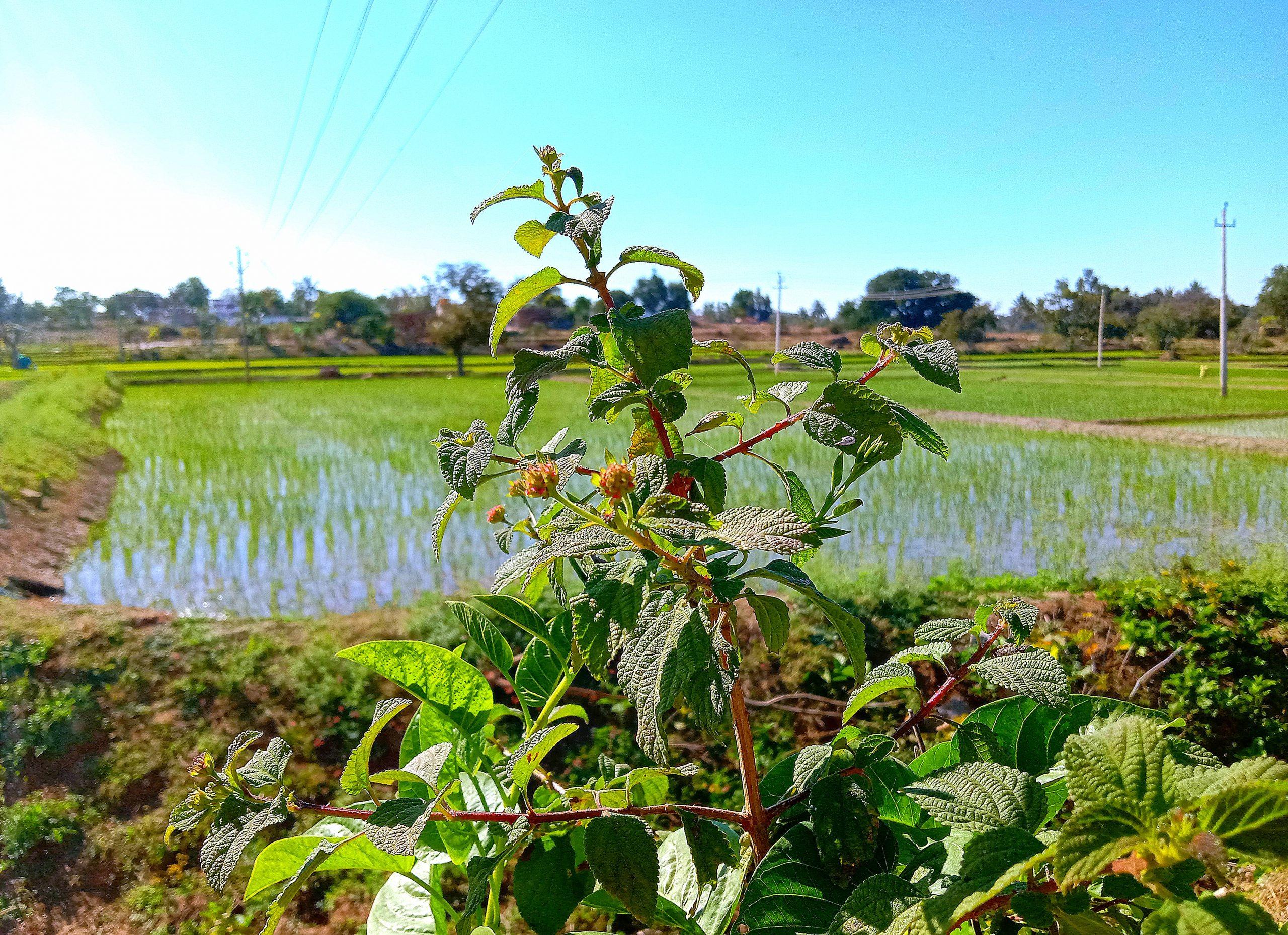 A plant near paddy fields