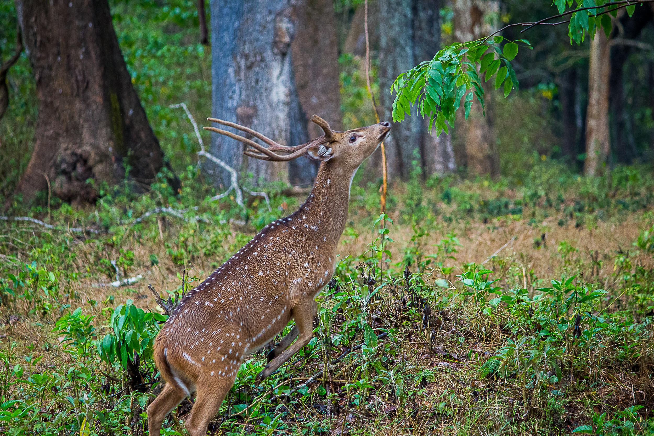 A Chital Deer
