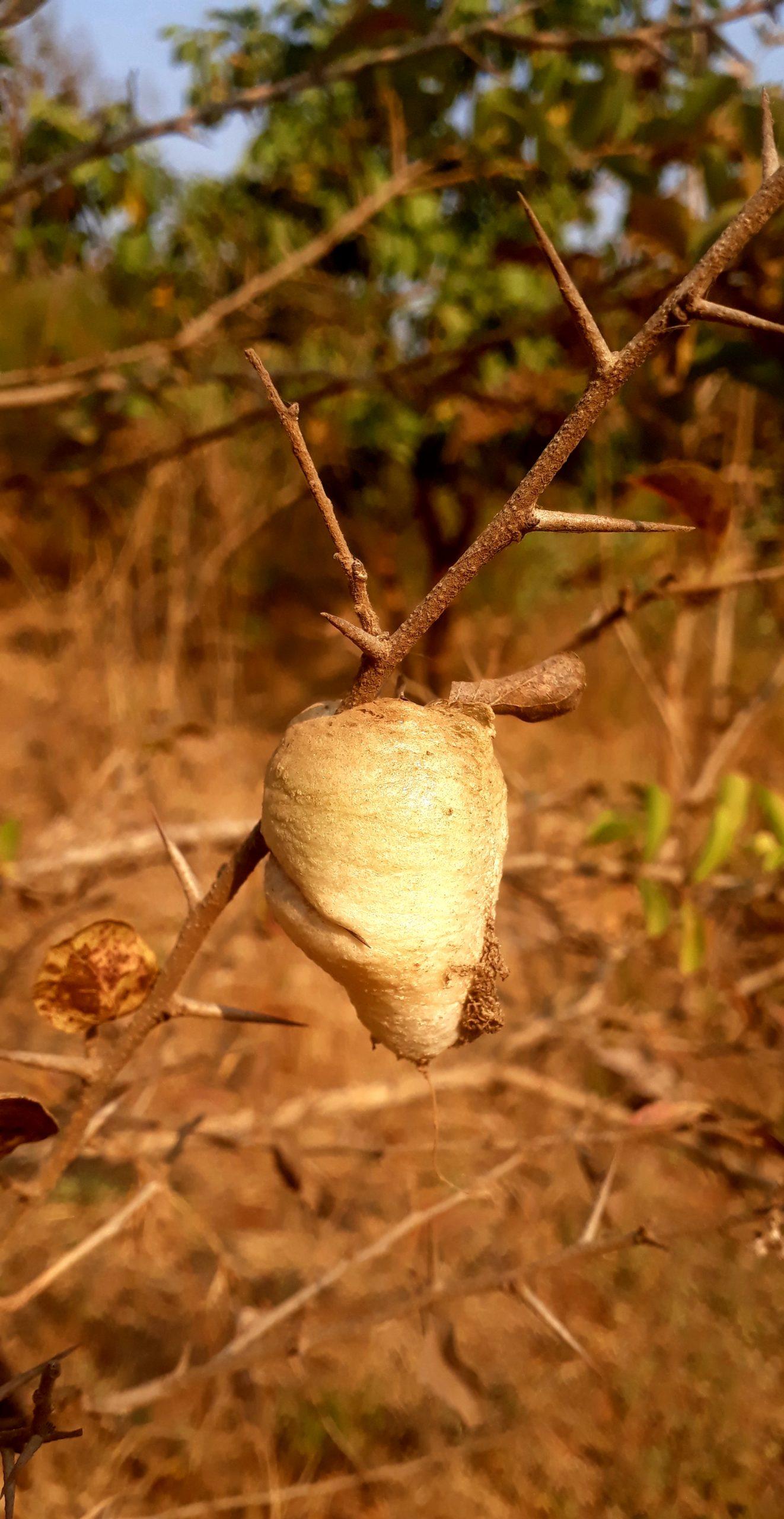 A caterpillar cocoon