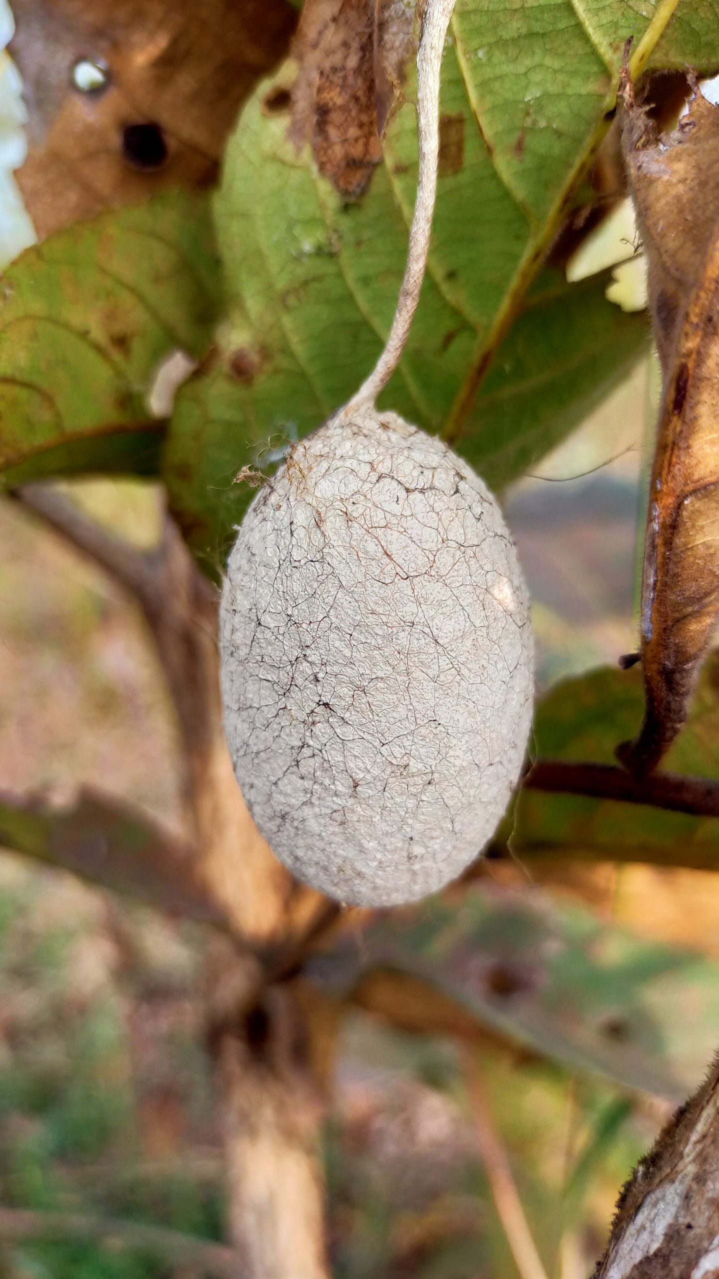 A cocoon made by silkworm