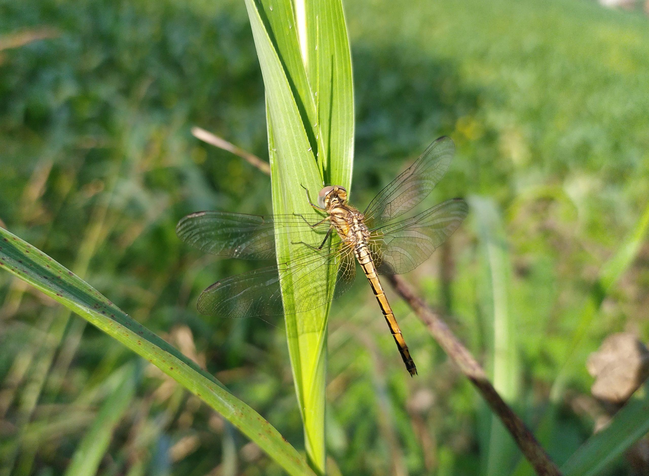 A dragonfly on grass leaf