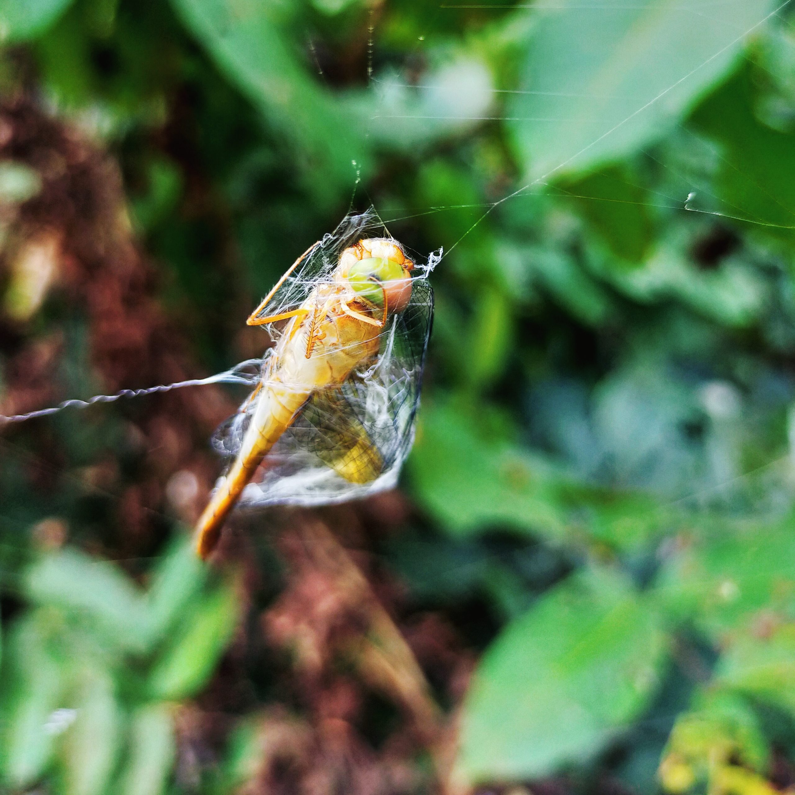 A dragonfly trapped in a spiderweb