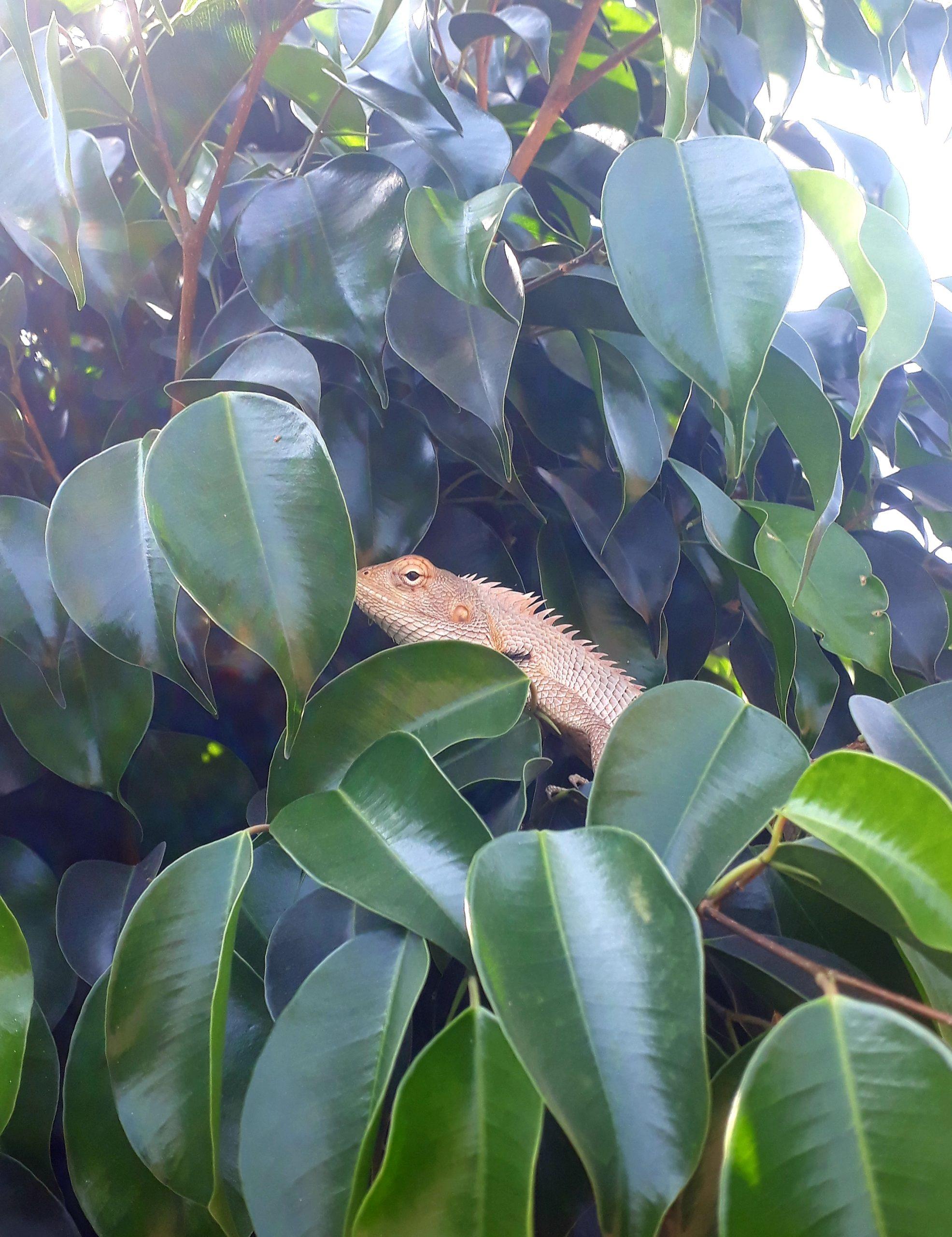 A garden lizard in a plant leaves