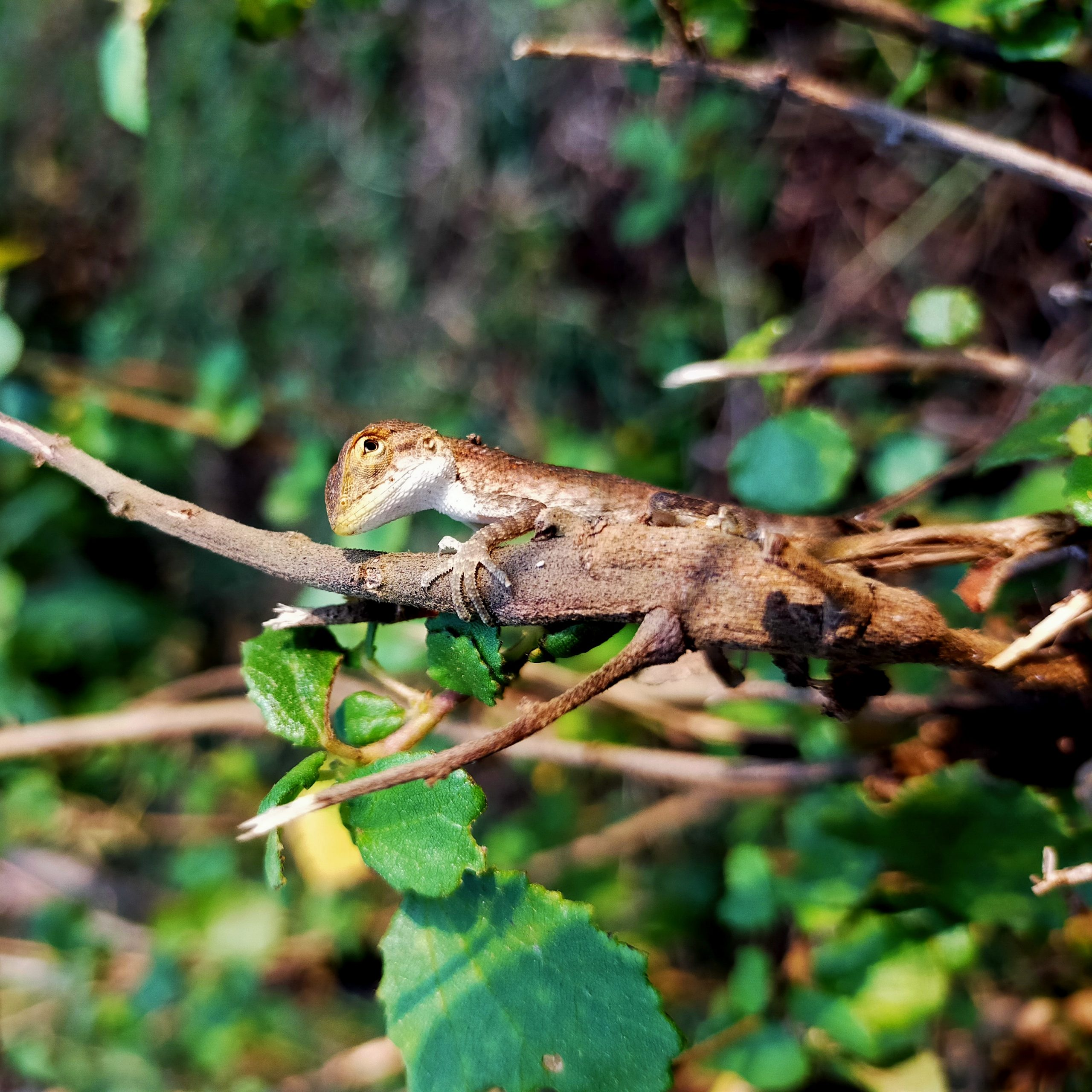 A garden lizard on a branch