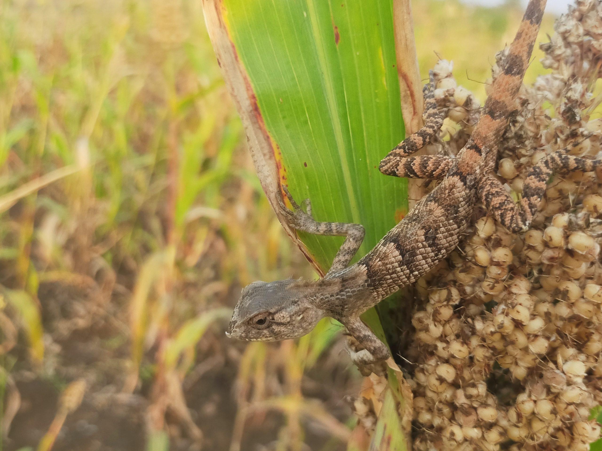 A garden lizard on a sorghum plant