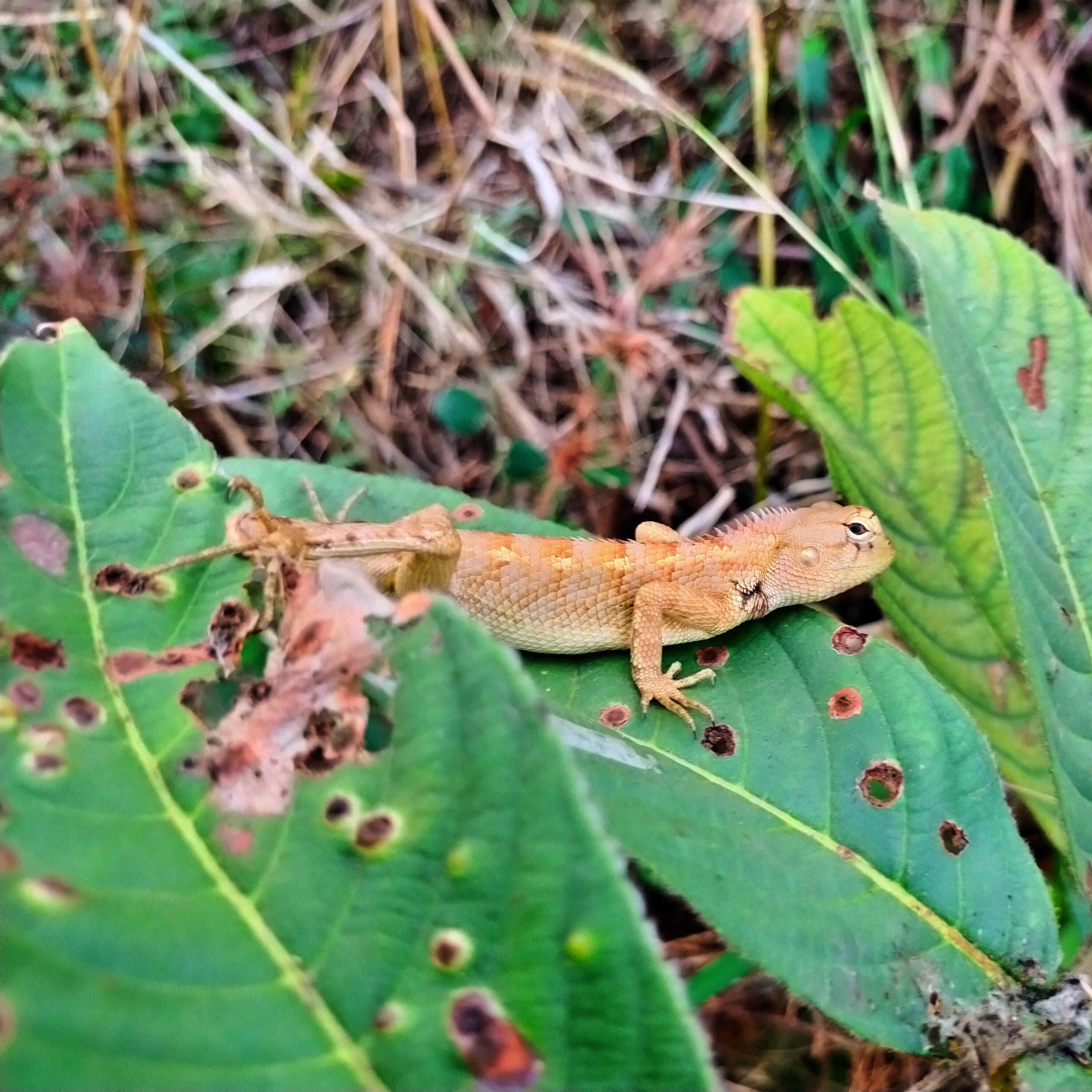 A garden lizard on plant leaf