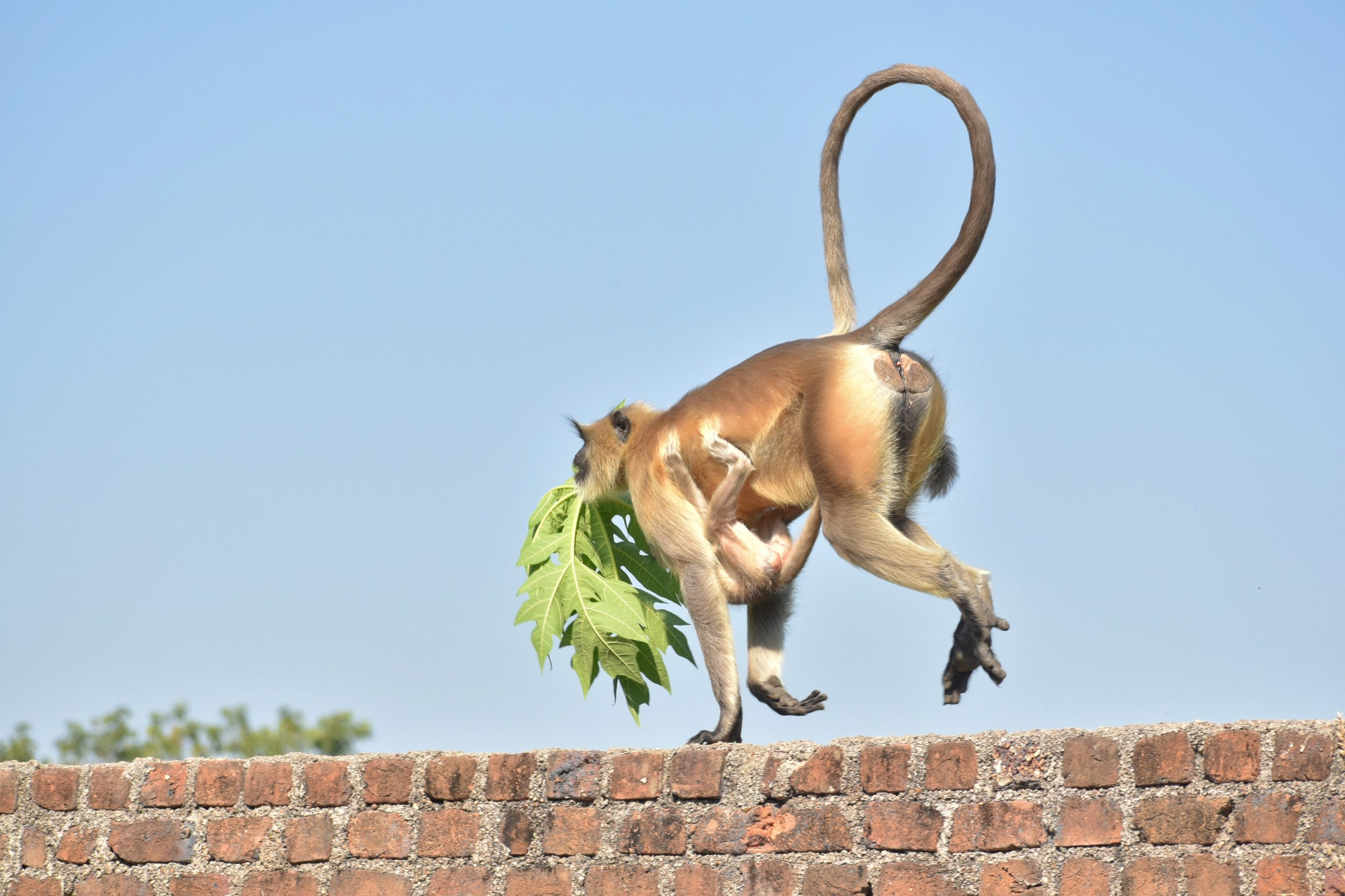 A gray langur running on a wall