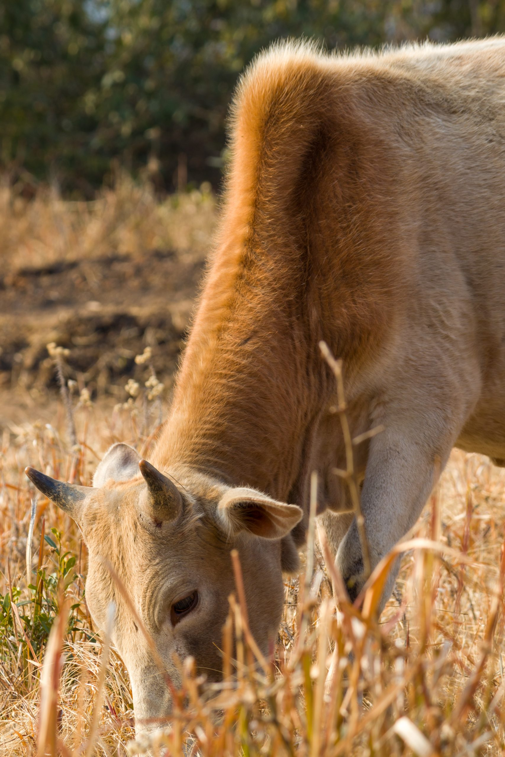 A grazing cow