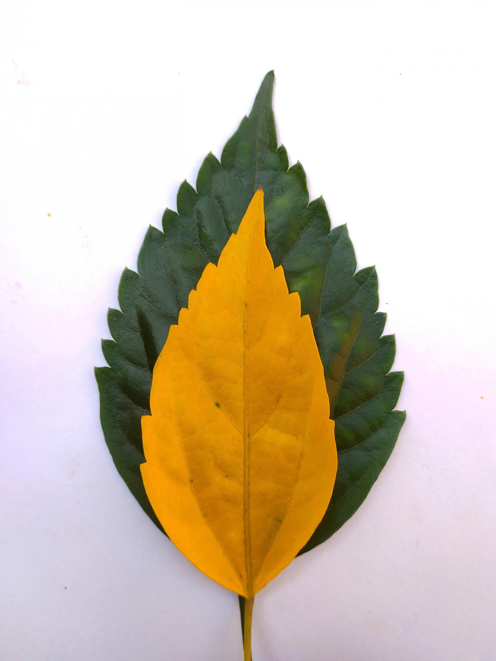 A hibiscus leaf