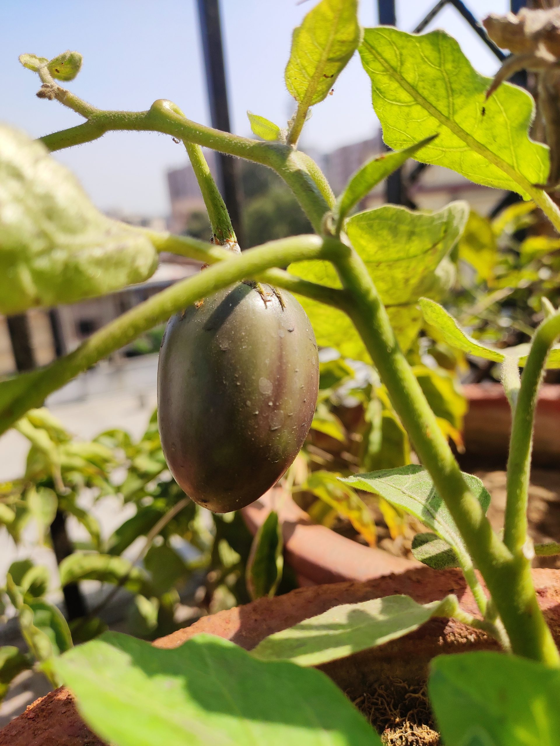 A little brinjal on plant
