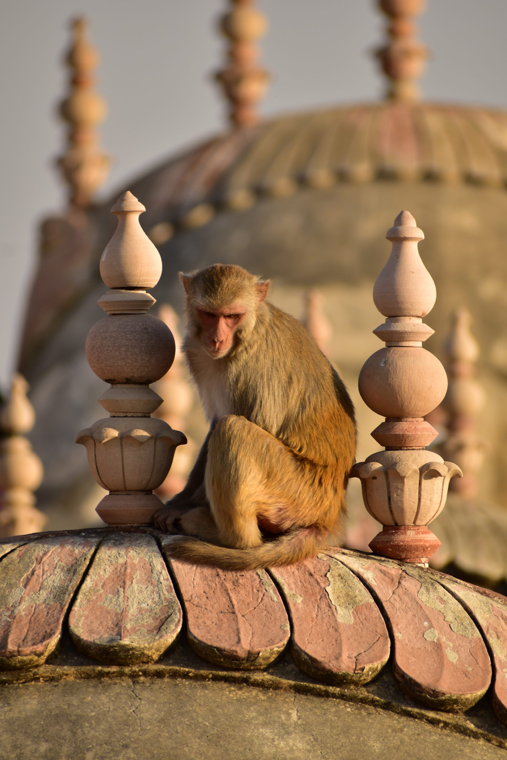 A monkey at Nahargarh fort