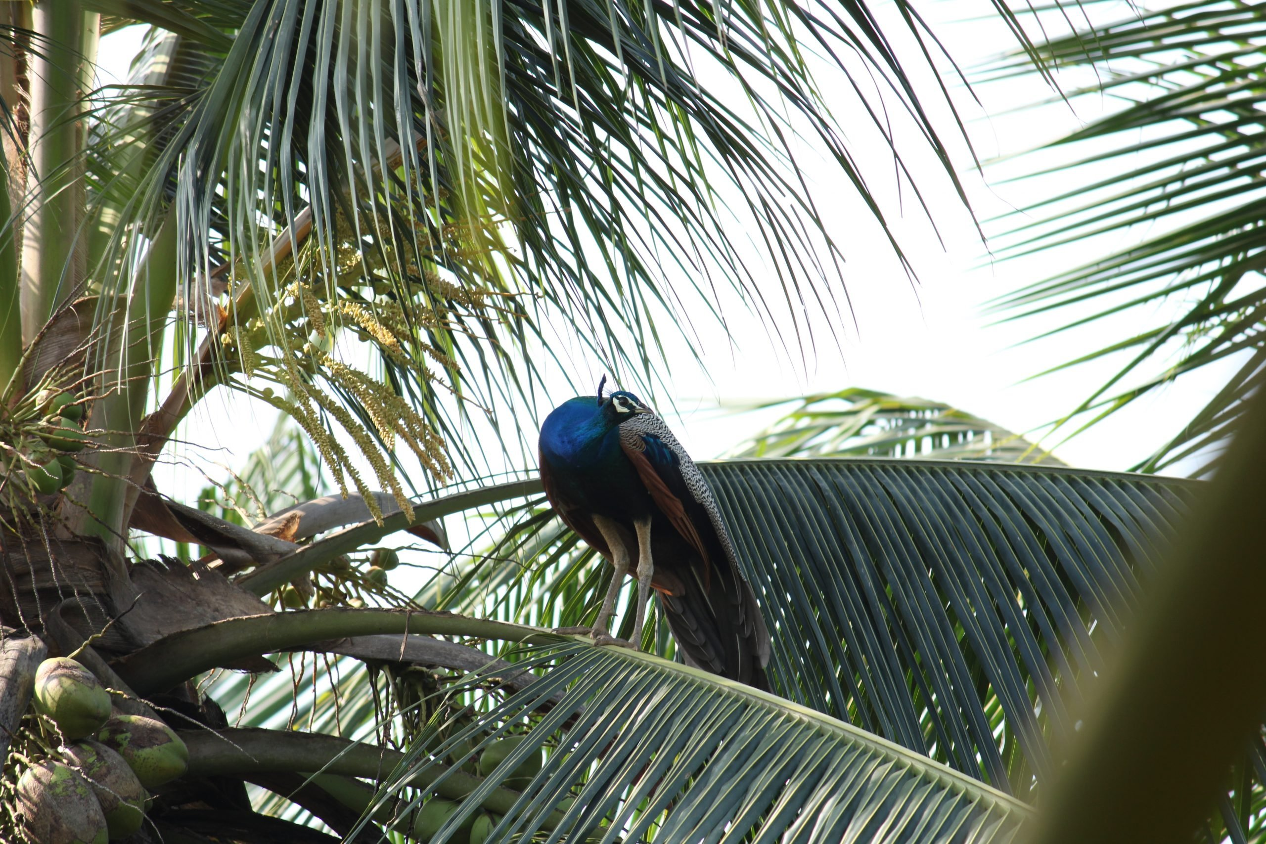 A peacock sitting on a tree