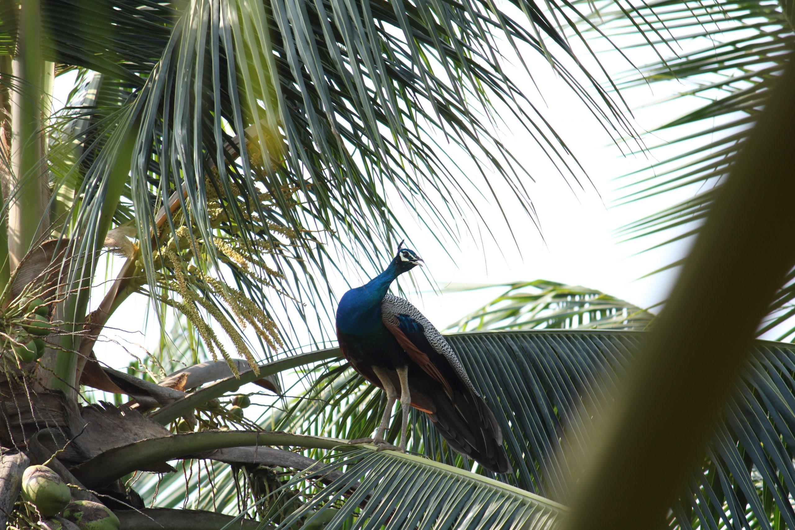 Peacock on coconut tree